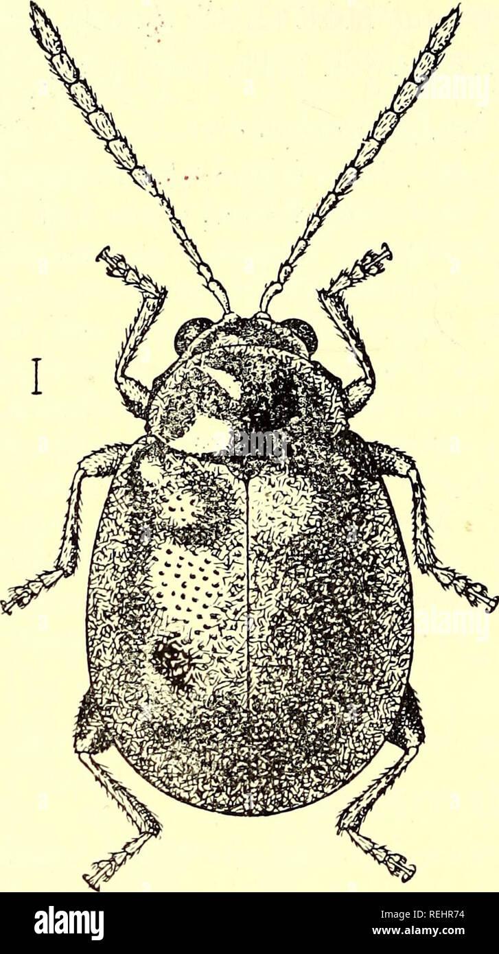 Coleoptera  Chrysomelidæ  Chrysomelidae