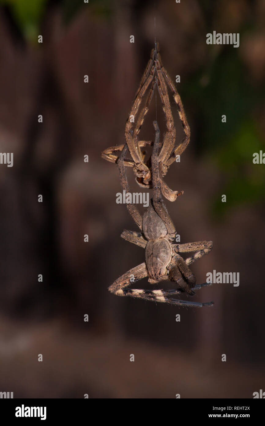 Moulting Spider 6017 - Stock Image