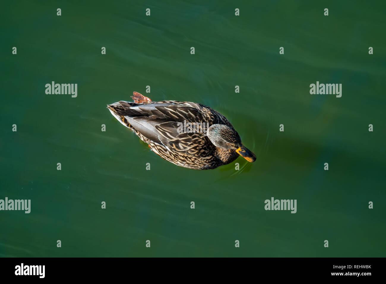 mallard duck swimming in lake in summer Stock Photo