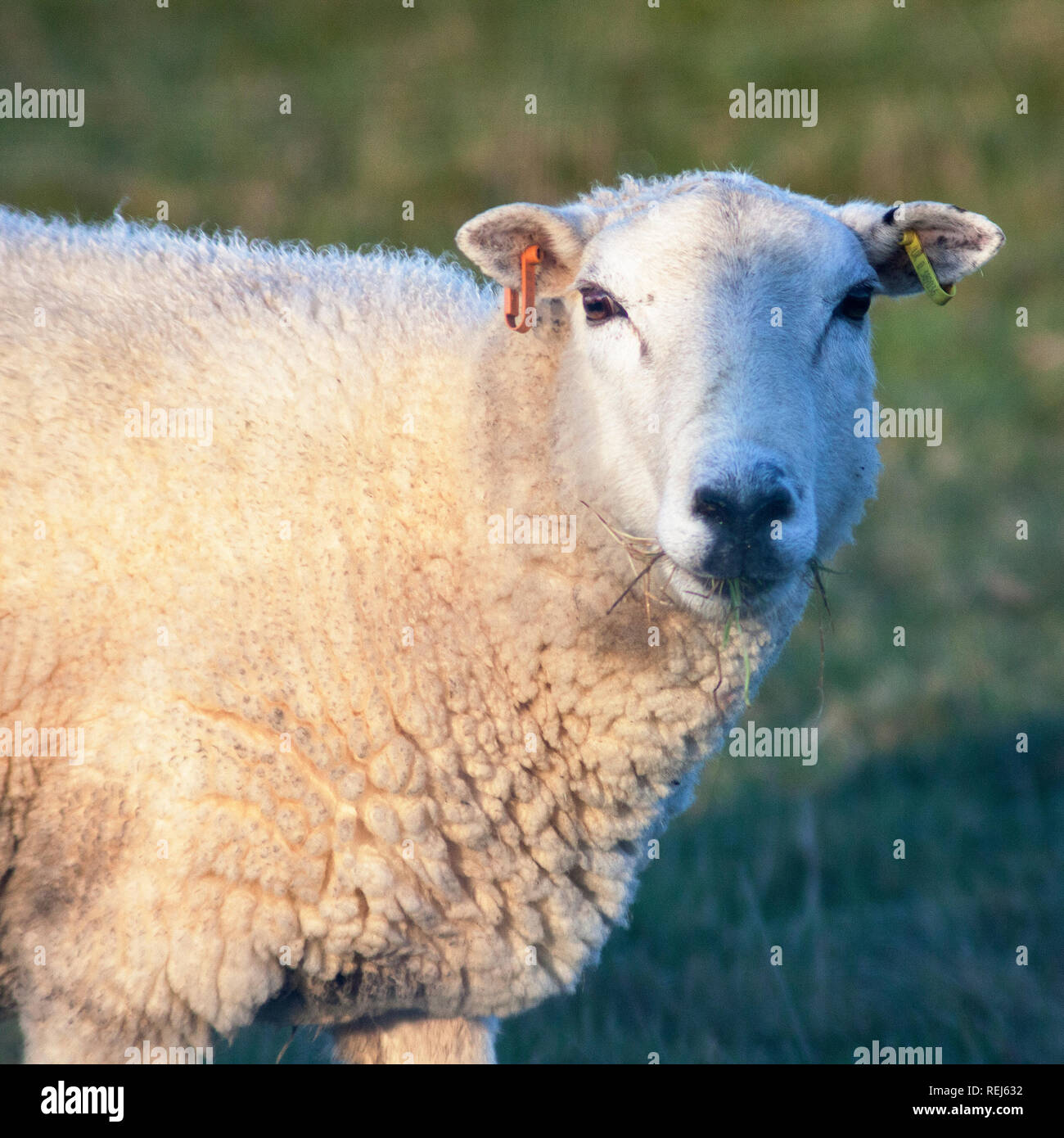 sheep ewe with ears tagged chewing grass looking at camera Stock Photo
