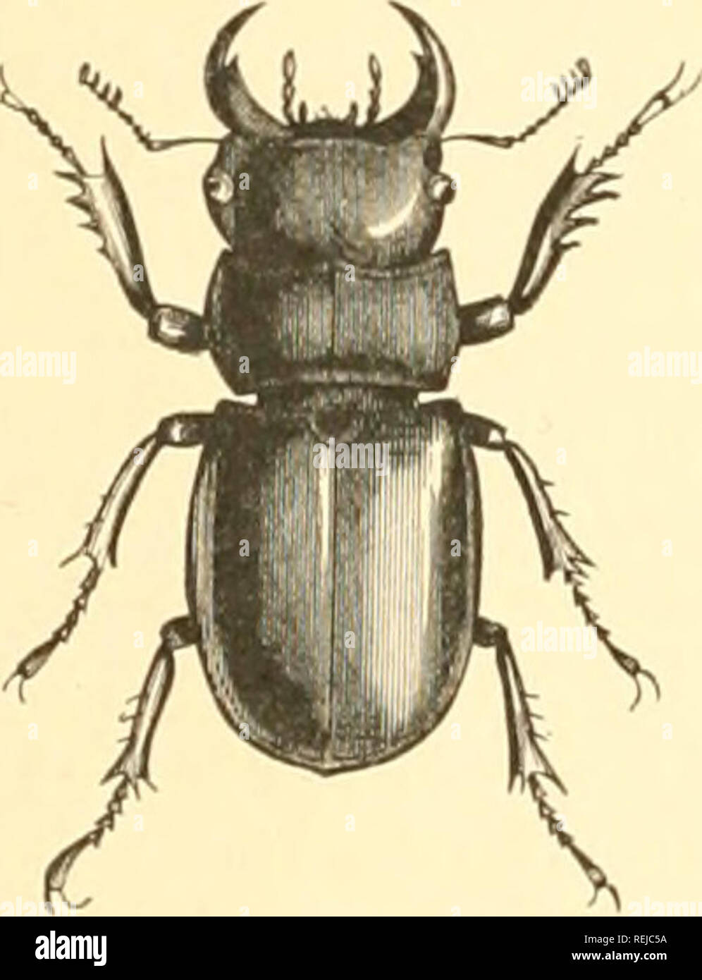 . Coleoptera. Beetles. 376 NATURAL HISTORY OF ARTHROPODS. is ahvnvs coveretl by the elytra, aiitl the beetles are usually somewhat elongate. Althouiih the si)ecies belonging to this family are generally nearly monocolorous — usually shatles of brown in temperate regions — in tropical species the colors are often o-reater in number. Some of the species have stridtilating organs. The larvie of the Lucanida* resemble closely those .of the SearabiTjidiv; they live in decaying wood, on the juices of which the imagos also feed. In Lucanus the mentum is entire, and covers the ligula and maxillse, the - Stock Image