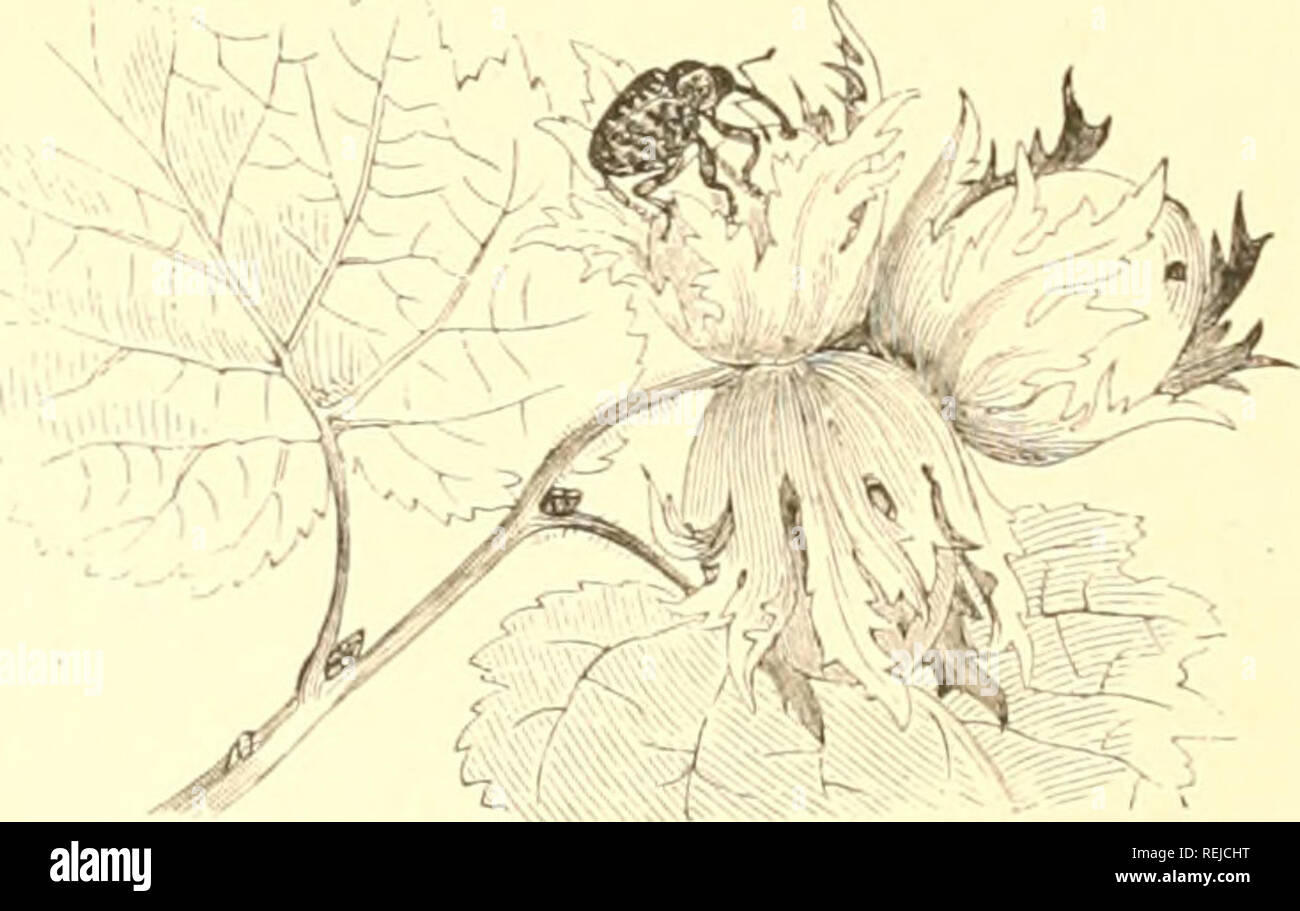 . Coleoptera. Beetles. BEETLES. 341. Flu. 381. — Balantnus nitcutn. The lar;i of _B. villosiis, another European larv«, or grubs, of Ji. caryatripes. They reach full growth when the chestnut rijjens, and then gnaw their way out of the nut in order to jjupate in the ground. Some of the beetles appear the same autumn, and hibernate as imagos; others, ju'obably the larger number, ajipear the succeeding spring. The beetle itself is dark brown, densely covered with yellow compressed hairs, which -aw somewhat irregularly distributed in spots upon the elytra. Its length is about 0.8 of an inch. I&gt - Stock Image