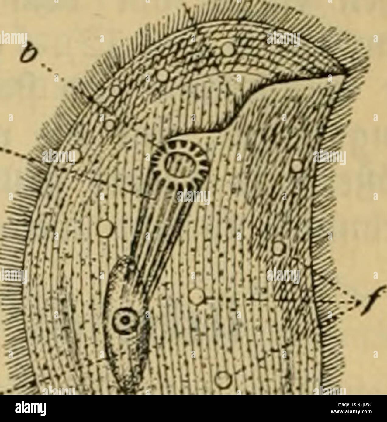 """. Dr. Johannes Leunis Synopsis der thierkunde. Ein handbuch für höhere lehranstalten und für alle, welche sich wissenschaftlich mit der naturgeschichte der thiere beschäftigen wollen. Animals. 1098 3oo(ogte ober D^aturgefd^td^te bes Sfiievvcid^S.. f >?ift^H * Chilödon cucuIlrdus'J (Müll.) Ehrbg (gig. 1069 ). @d)Iunbftäbe gerabe, eine fegetförmige 9ieufe bilbenb; Äent eiförmig; Sänge bis U,i8 """"i™. e^cmein in ben »erfAicbenftcn @ü§»äffcrn unb auc^ im SOJeerc; Bewegung langfam gteitcnb, mit fdtcner 2iref;ung um bic Sängoaj,-e; Ouer= unb ?äng8tf;eitung häufig, ebenfo Snci^ftirung. * C. cur - Stock Image"""