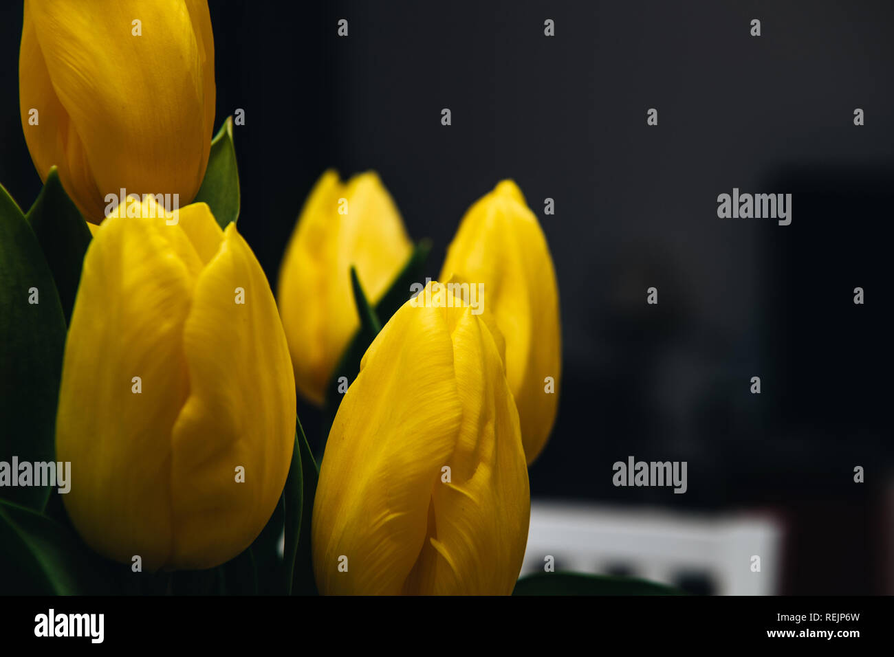Close-up of mesmerizing yellow tulips bouquet against dark background arranged asymmetrically reminding of the splendor of spring season vividness - Stock Image