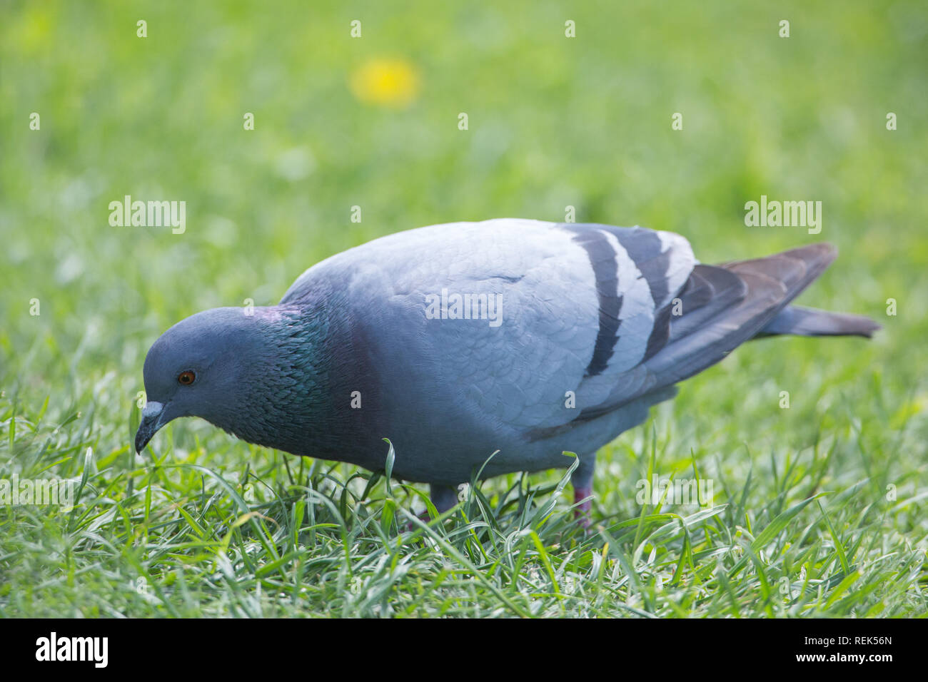 Rock Dove (Columba livia). On the lawn of a private house garden. Isle of Iona, Inner Hebrides, West Coast, Scotland. The wild ancestor species ​of domestic breeds of pigeon. - Stock Image