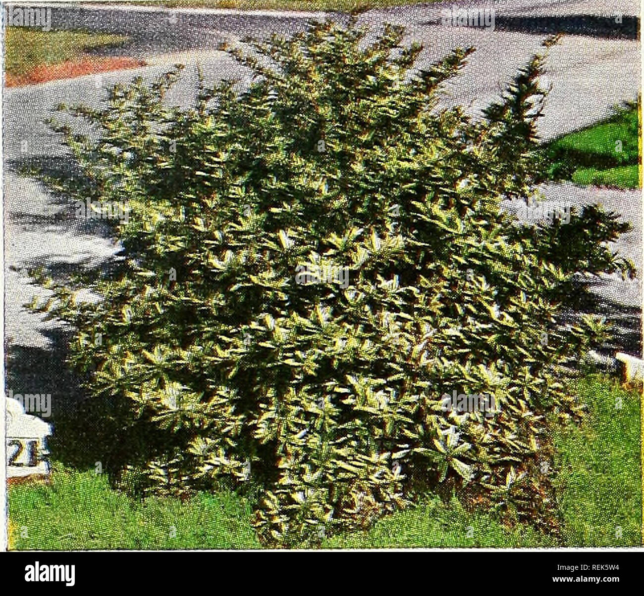 C M Hobbs Sons Nurseries Horticulture Catalogs Evergreens