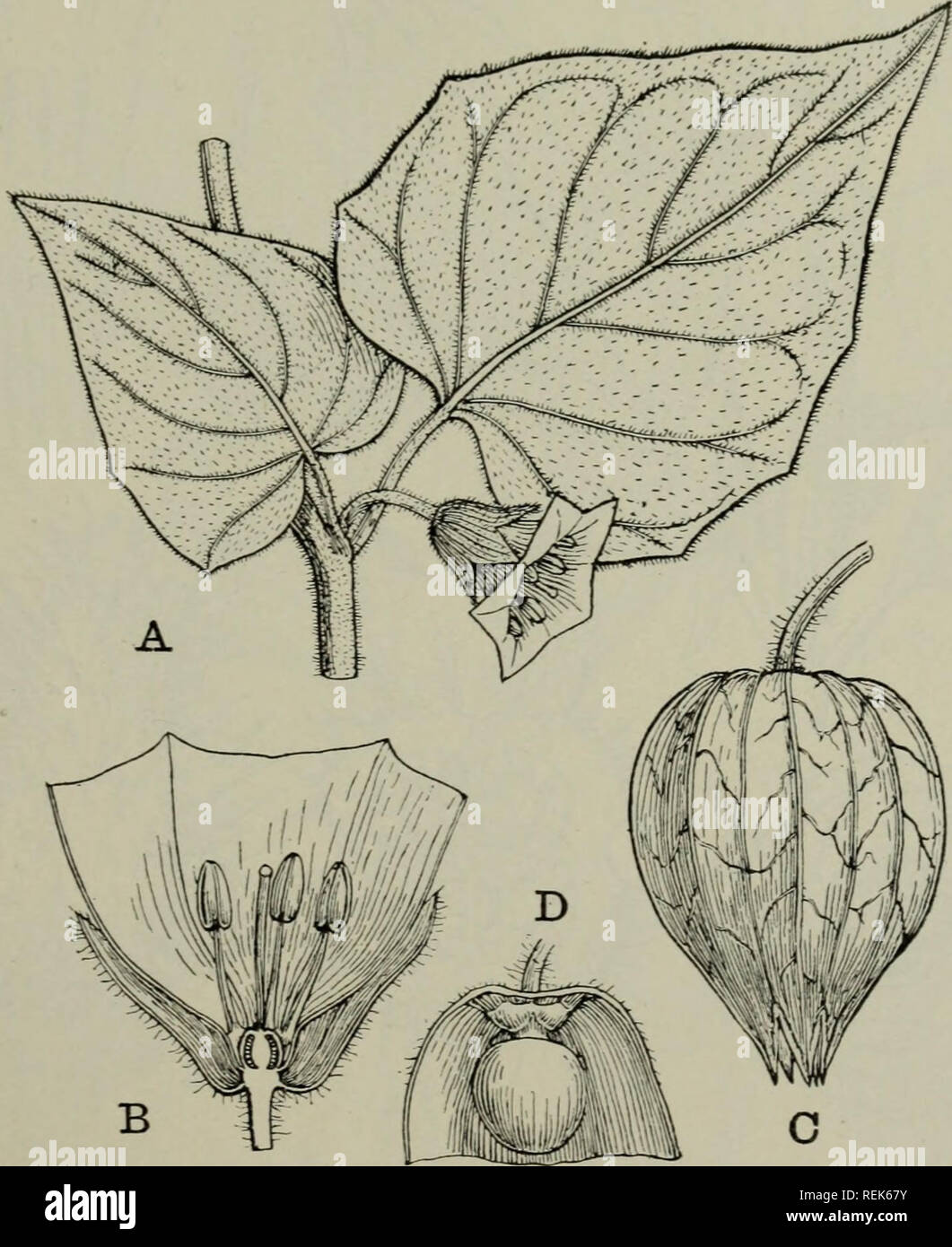. The classification of flowering plants. Plants. SOLANACEAE 519 an ornamental plant, the calyx becoming enlarged in the fruit, as in Physalis. Tribe 2. Solaneae. Ovar}^ two-chambered. Contains 40 genera, which are grouped into subtribes according to the form of the corolla, the character of the fruit, and the insertion of the anther. Lycium has 100 species in the extratropical parts of both hemispheres, comprising small trees or shrubs, often thorny with a long cylindrical or narrowly bell-shaped. Fig. 238. Physalis peruviana (Cape Gooseberry). A. Flower-bearing node, f nat. size. B. Flower i - Stock Image