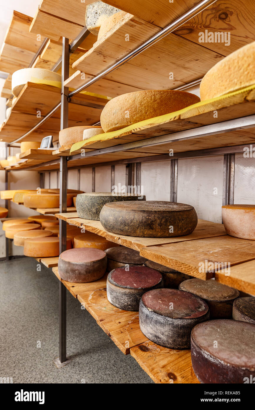 Wheels of cheese in a maturing storehouse dairy cellar on wood shelves - Stock Image