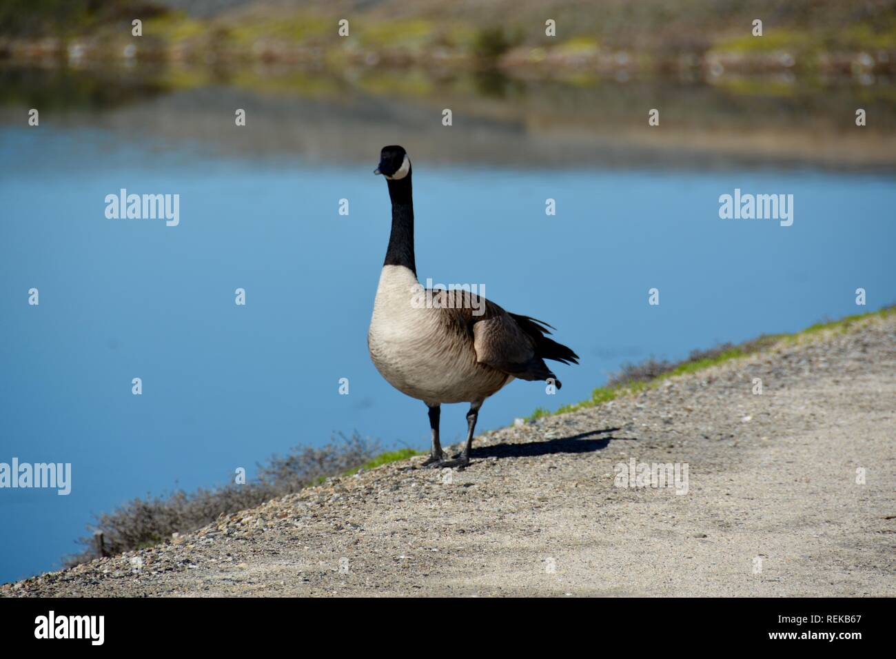 A Canada Goose standing near water's edge. Canada geese will attack people if they feel threatened, but this one just honked at me as he waddled past. Stock Photo