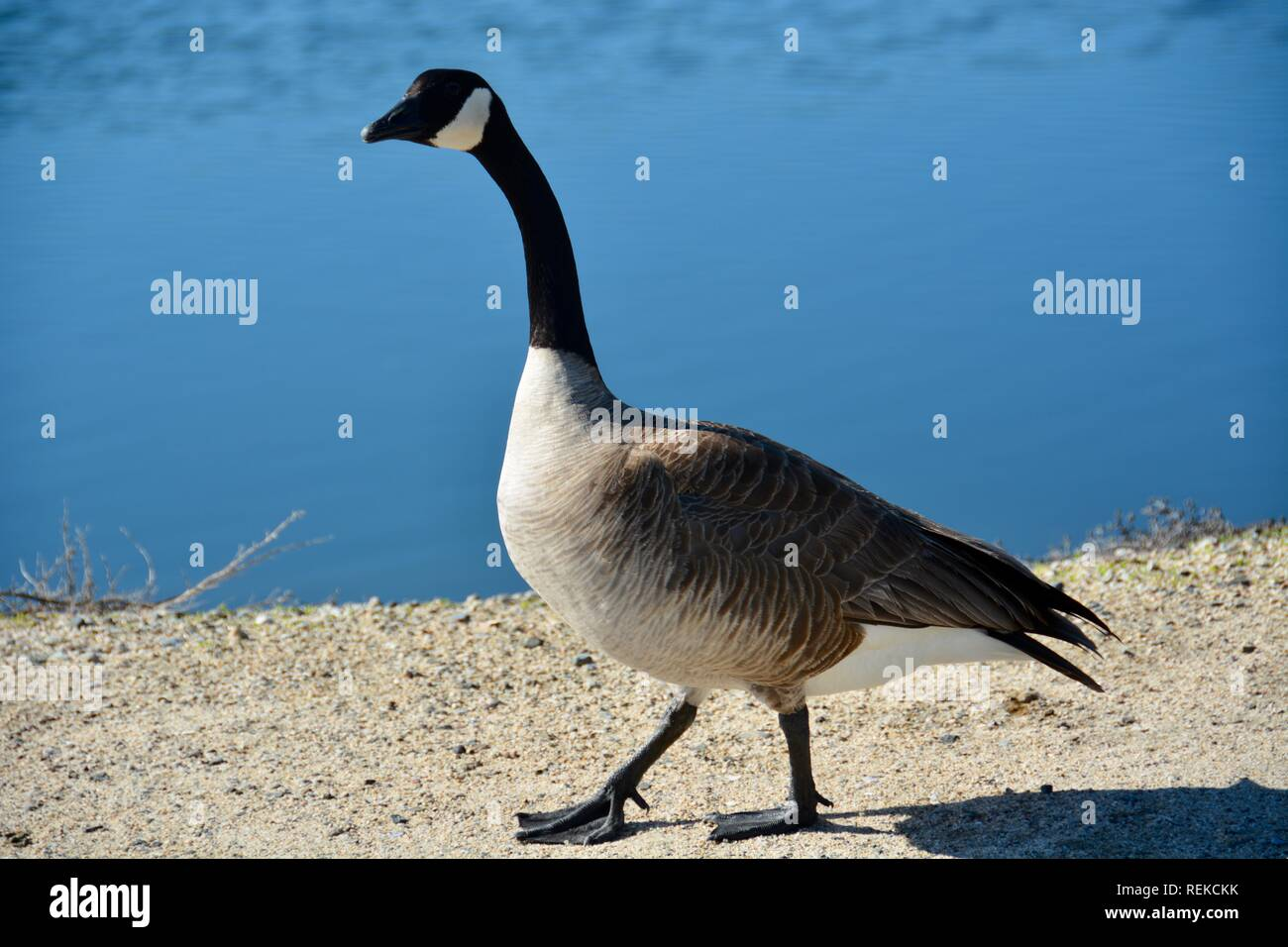 A Canada Goose walking near water's edge. Canada geese will attack people if they feel threatened, but this one just honked at me as he waddled past. - Stock Image