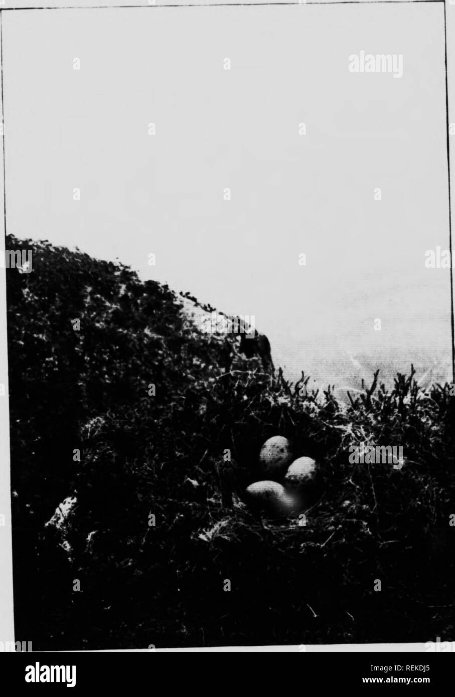 . Birds of the loch and mountain [microform]. Bird watching; Birds; Oiseaux; Oiseaux. NEST OF COMMON GULL. 0-4 THE t 'UE â F A L0:HA' ir-  I ' it.:! i : ill If. Please note that these images are extracted from scanned page images that may have been digitally enhanced for readability - coloration and appearance of these illustrations may not perfectly resemble the original work.. Gordon, Seton, 1886-1977. London ; Toronto : Cassell - Stock Image