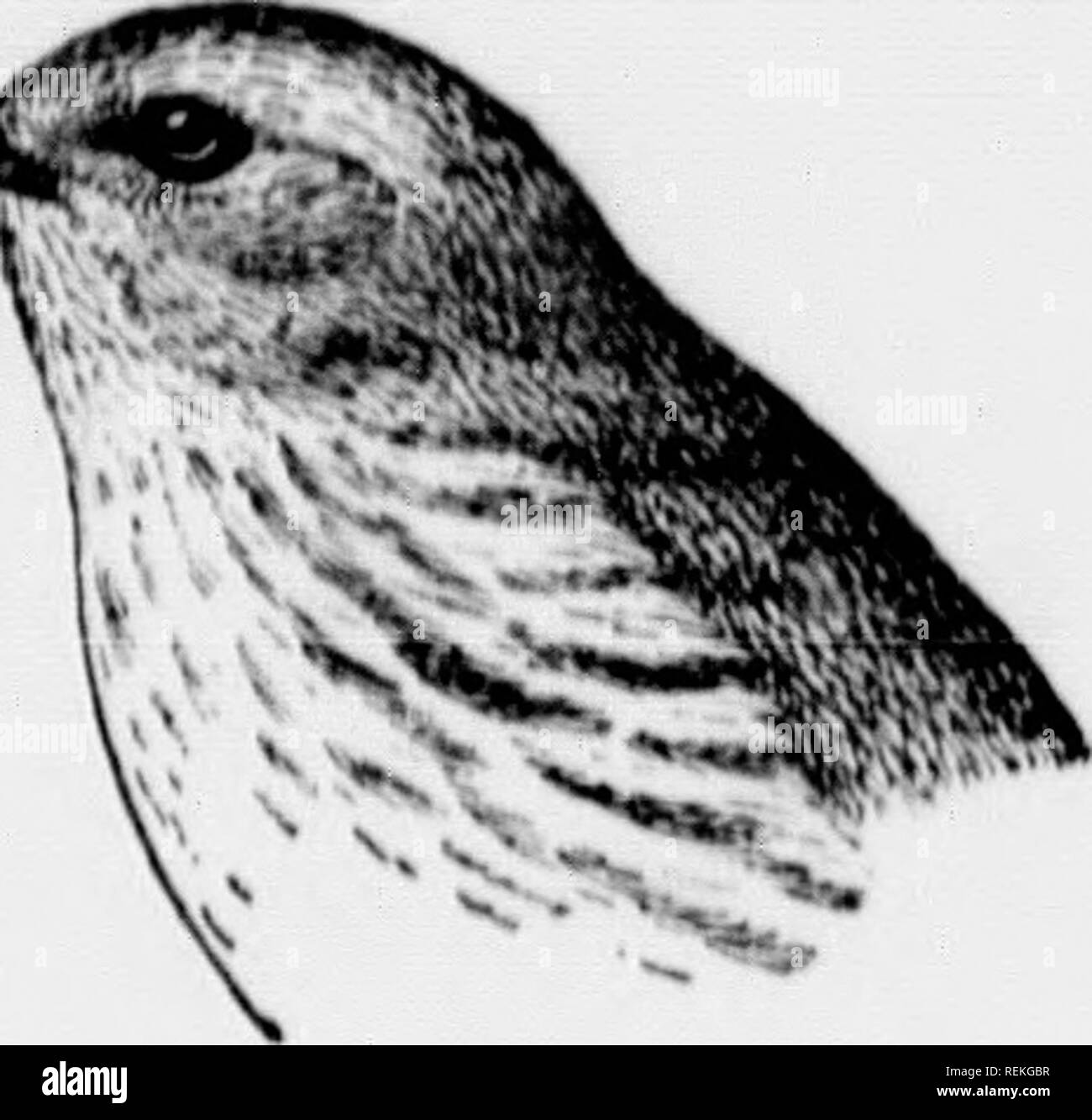 . Birds of village and field [microform] : a bird book for beginners. Birds; Oiseaux. Fks. I!i0. Black and White Creep, er. -^^. Fi(!. i!)l. Vfllow W.irbl.T.. Please note that these images are extracted from scanned page images that may have been digitally enhanced for readability - coloration and appearance of these illustrations may not perfectly resemble the original work.. Bailey, Florence Merriam, b. 1863. Toronto : McClelland & Goodchild Stock Photo