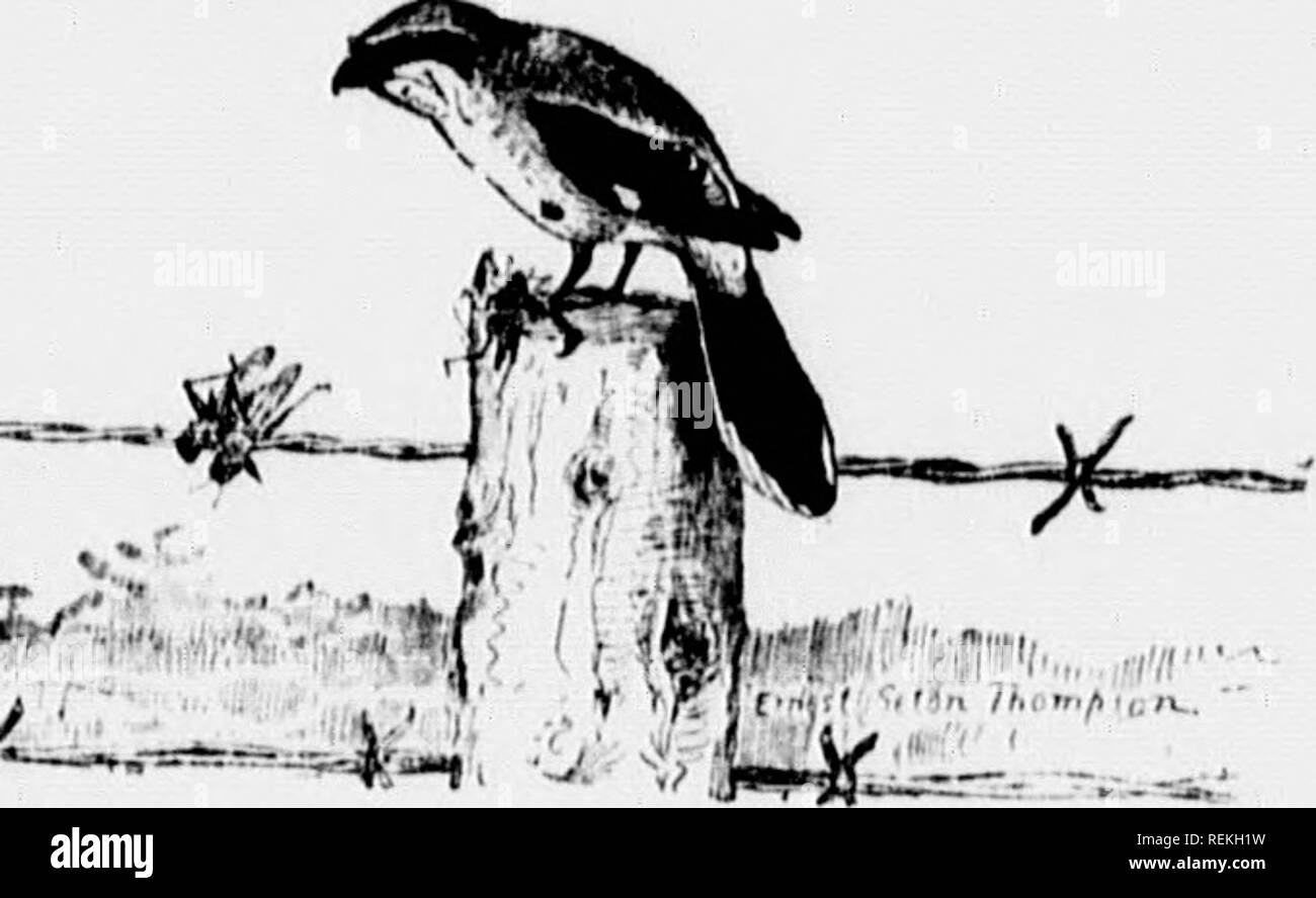 """. Birds of village and field [microform] : a bird book for beginners. Birds; Oiseaux. mmmmmimS 298 LOGGElillEAD SUUIKE it will be well to glance over the list once more before leaving tJiein. Order I. Grouse, (^lail, Pheasants. Order II 1 igx^ons and Doves. Order III. Birds of Prev Order IV. Cuckoos and Kingfishers. Order V W oodpeckers, etc. Order VI. Goatsuckers, Ilum- nungbirds, Swifts. Order lh Perchin, Birds Fig. 109,. Loggerhead Shrike : Lanius huhoidanus and race. Upper parts gray ; wings and tail and line from bill to ear black • Gko(,ua,."""",c DisTUiiuiTiON. - Eastern North America wes - Stock Image"""