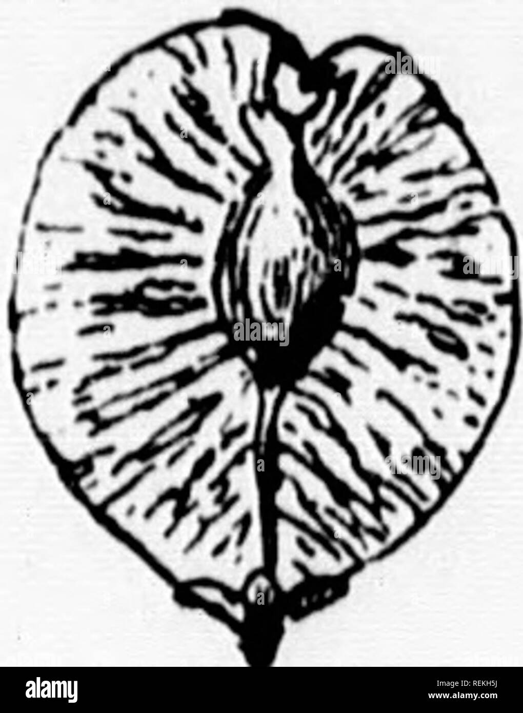 """. Elementary botany [microform]. Botany; Botanique. 96 DISPERSAL OF SEEDS fii agency of the wind, the fruits or seeds are very small- or they oppose a large surface to the wind. The large surface maybe merely due to the flattened form of the frdt or seed or It may be caused by the possession of wings or tufts of hair. It is to be noted that wl.en truits (or their carpels in the case of schizocarps) are closed and indehiscent, they (or the meri- carps) are the parts scattered, and adapted to aiu hspersal; the seeds in this case are passively Fig. x30.-sa.ara ''°'?^ '""""'^'^^ ;^e f^^its. But - Stock Image"""