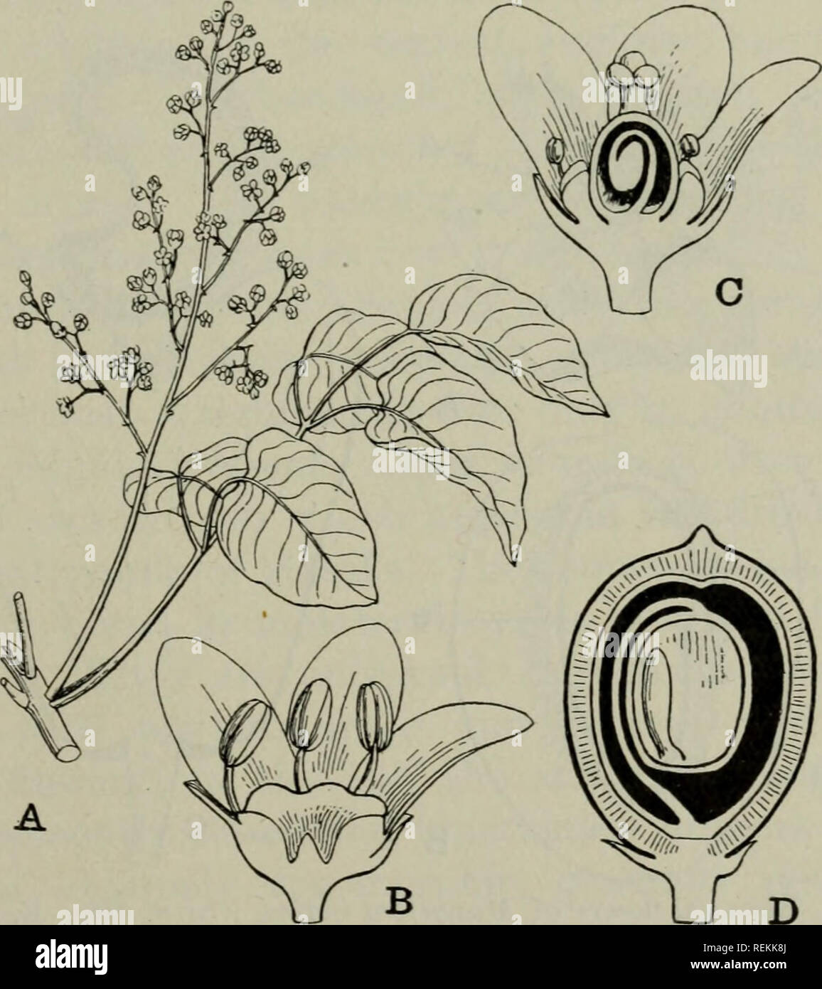 the classification of flowering plants  plants  anacardiaceae 293 thus in  mangifera indica (