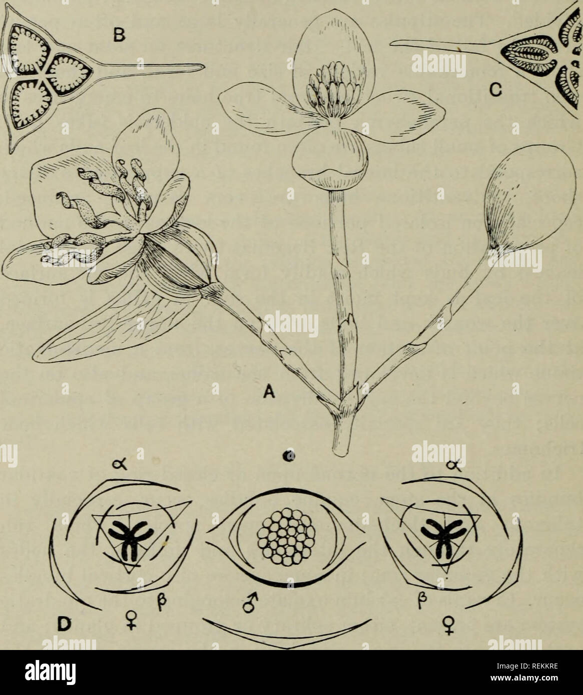 The Classification Of Flowering Plants Plants 230 Flowerixg Plants Sepals Except In Begoniella And The Female Flower Of Sym Begonia Where They Unite To Form A Tube The Perianth Leaves Are Free