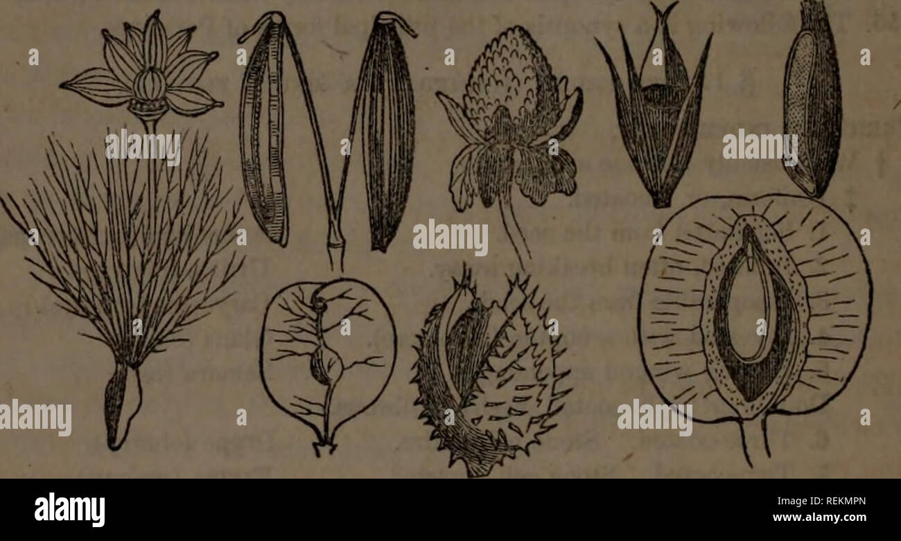 . Class-book of botany : being outlines of the structure, physiology and classification of plants : with a flora of the United States and Canada. Botany; Botany; Botany. 114 PERICARP. 556. The achenium is a small, dry, indehiscent pericarp, free from the one seed which it contains, and tipped with the remains of the style (buttercups, Lithospermum). 557. Tho double achenium of the Umbelifera, supported on a carpophore is called cremocarp. Tho 2-carpeled achonium of the Cornpositae, usually crowned with a pappus, is called cypsela. 558. The achenia are ofte.v mistaken for seeds. In the LabiatEe - Stock Image