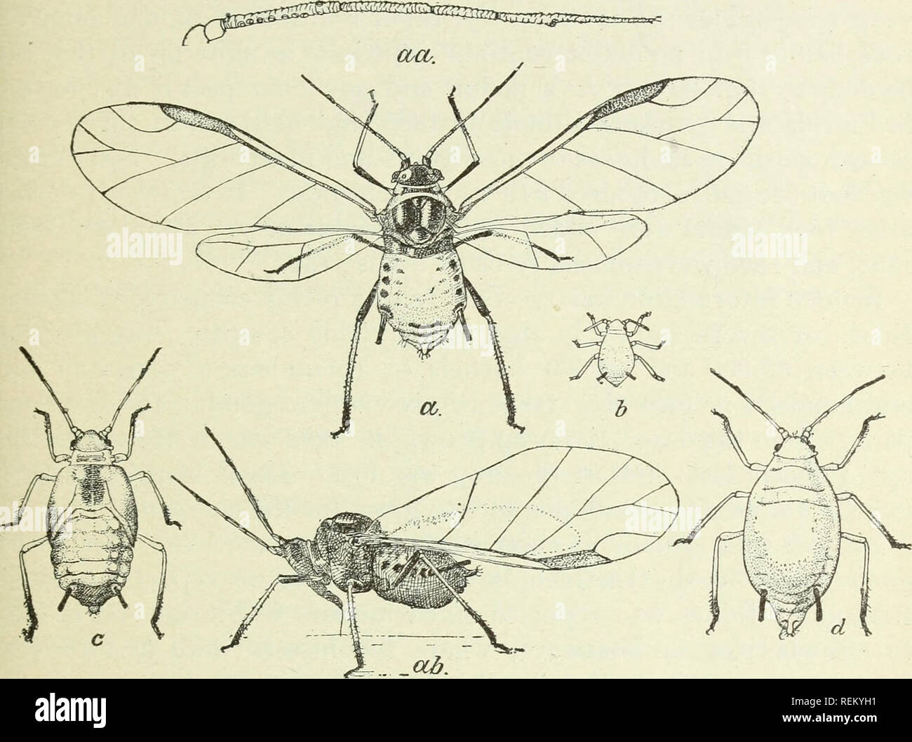 """. Circular. Insects. 3 from 1.2 to 1.8mm, while the wings expand from 4.5 to 6mm. A darker form of the female is shown in profile at ab, and the antennas, much enlarged, at aa. The male has not as jet been recognized. This is by far the most important and abundant aphis affecting melons and other cucurbits, and is not likely to be confused with any other species occurring habitually on the same class of plants."""" It is, indeed, a very important pest, and, taken season after season, the worst aphis occurring in this country.. Fig. 2.—Melon aphis {Aphis f/ossj/pii): a, winged female; aa, enl - Stock Image"""