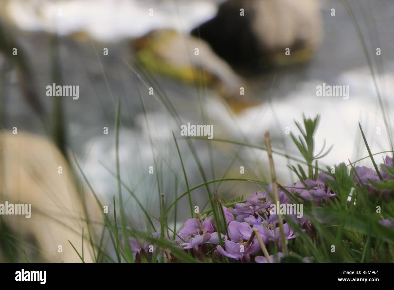 Lila Blumen am Wasserfall in Island - Stock Image