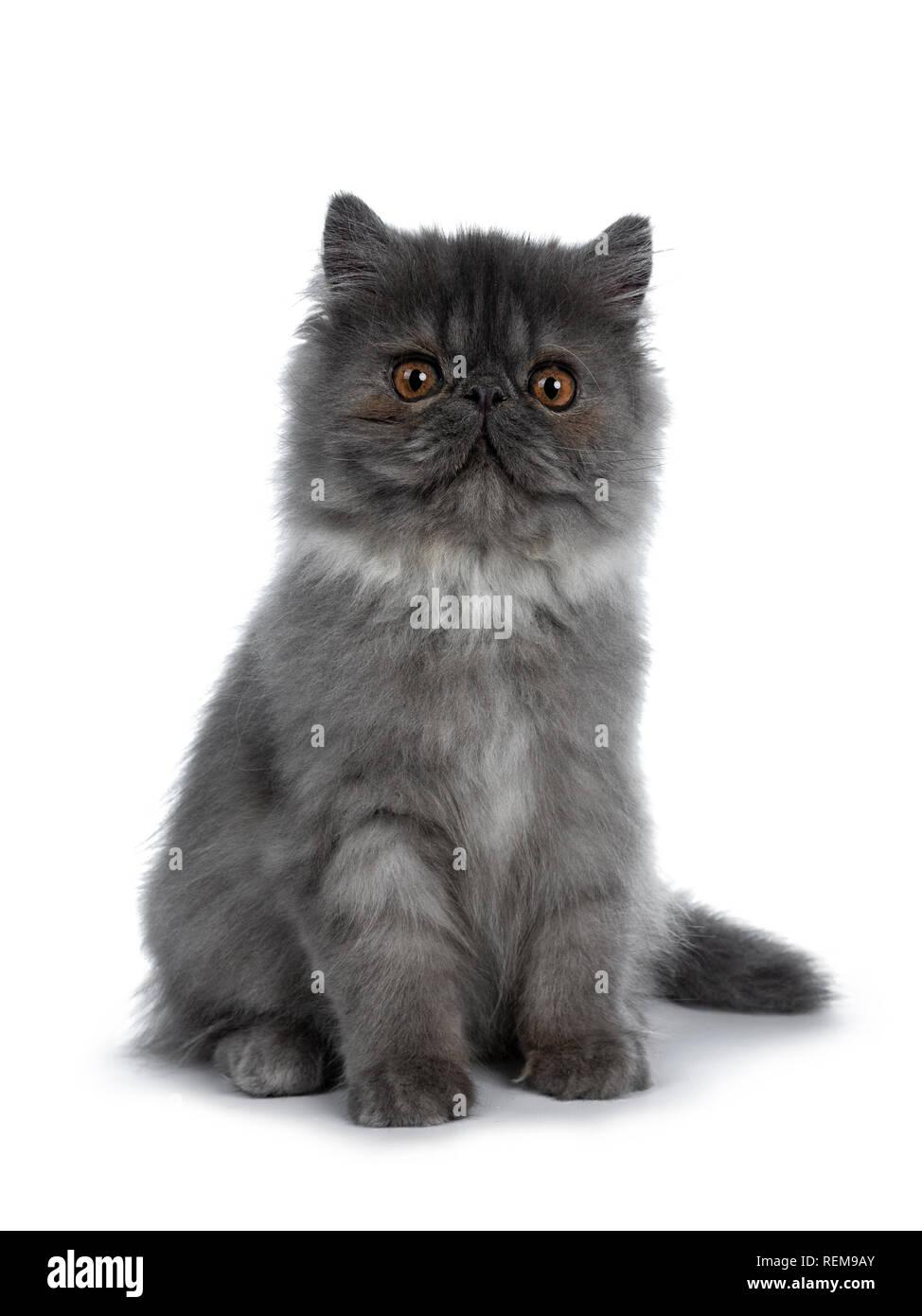 Cute black smoke Persian cat kitten, sitting up facing front