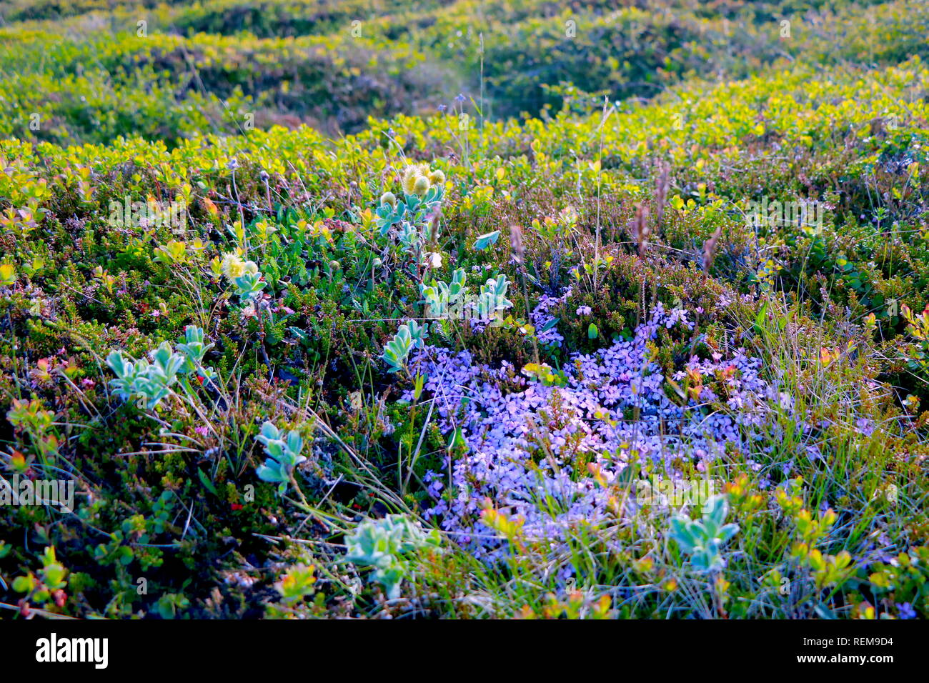 Blumenwiese mit Sonnenstrahlen in Island - Stock Image