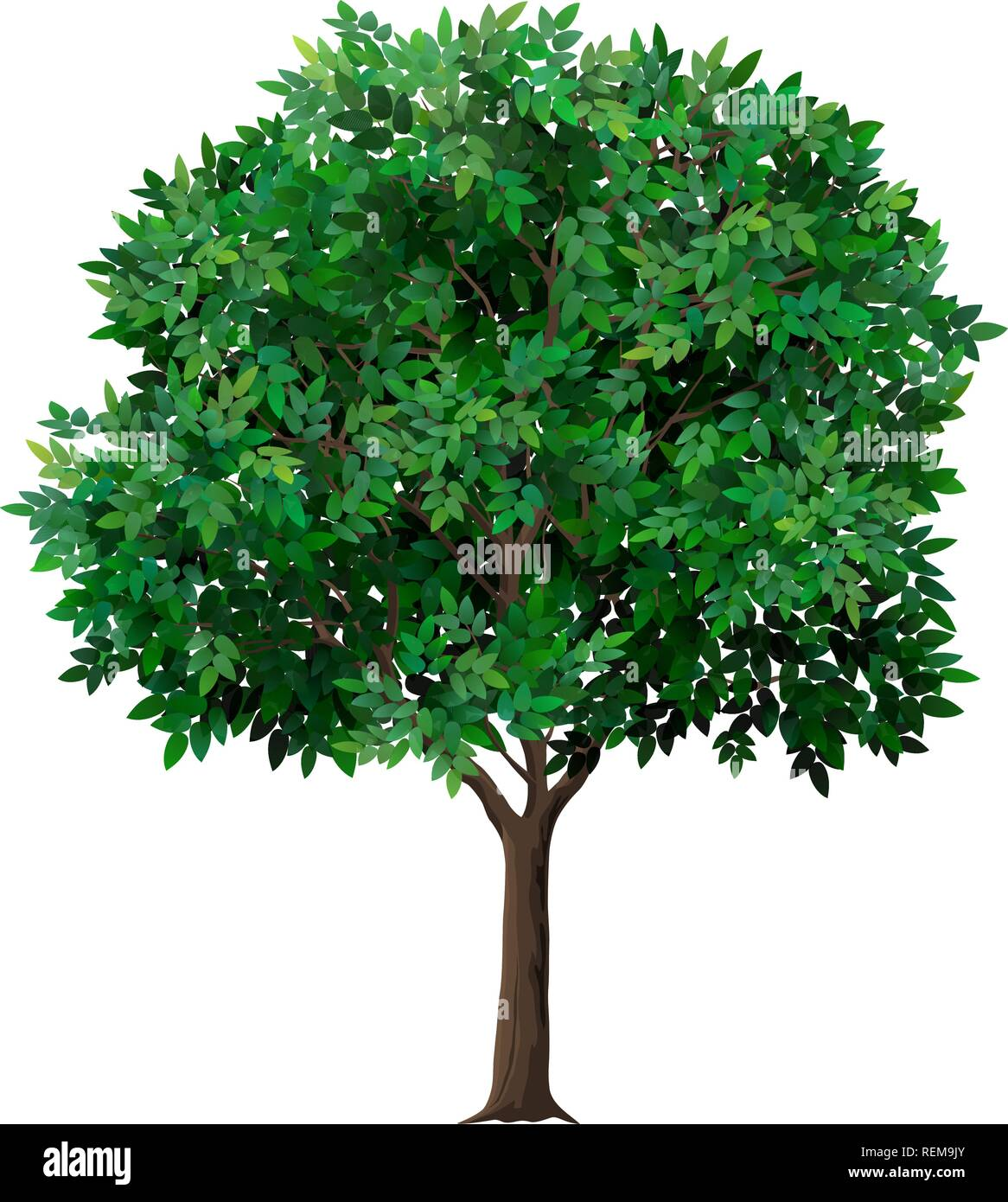 Vector realistic tree with green leaves. Garden fruit tree with a lush crown. Detailed plant. Isolated on white background. - Stock Vector