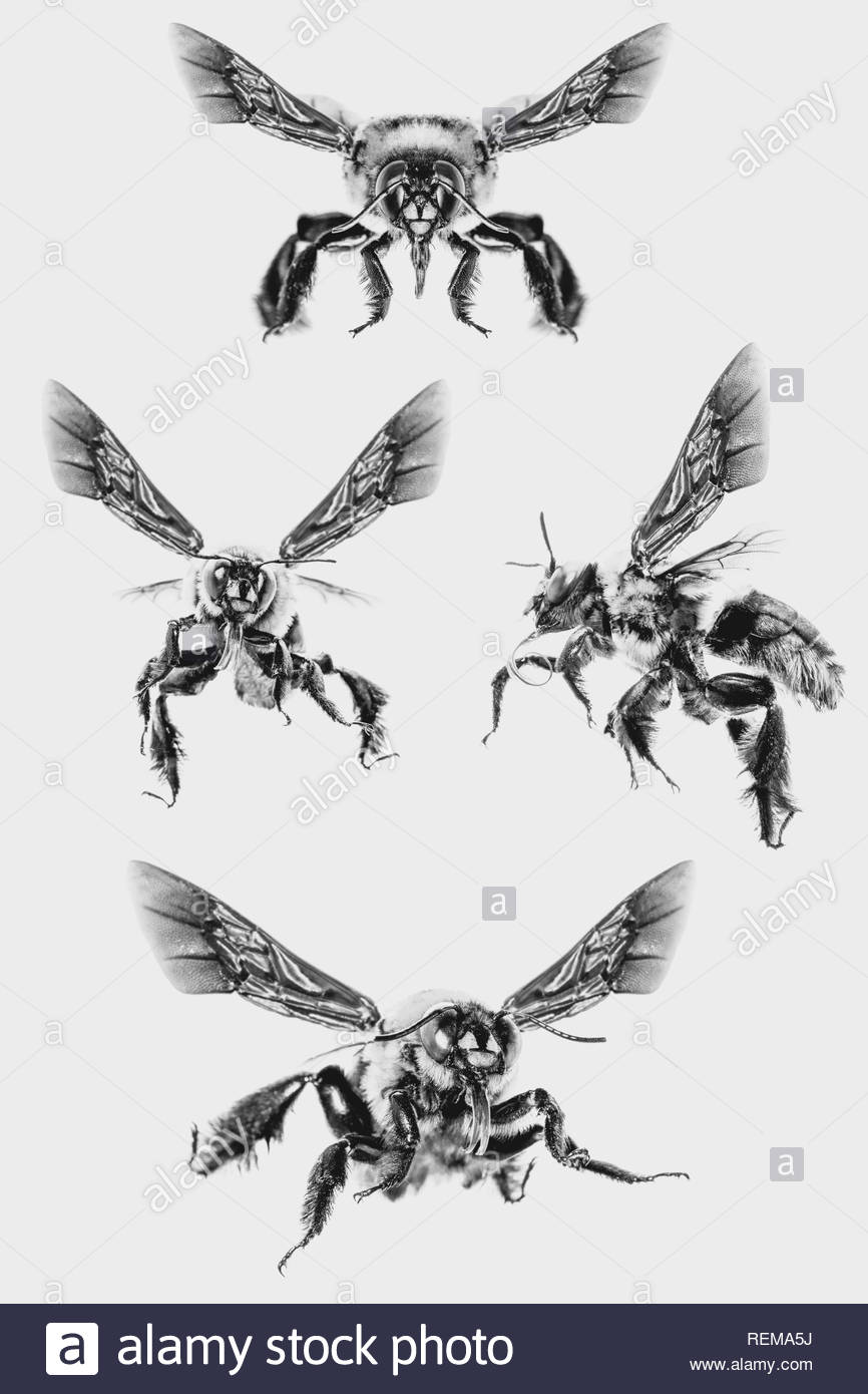 picture of bees on white background, bee on backs flying and other details, macro photography of insects - Stock Image
