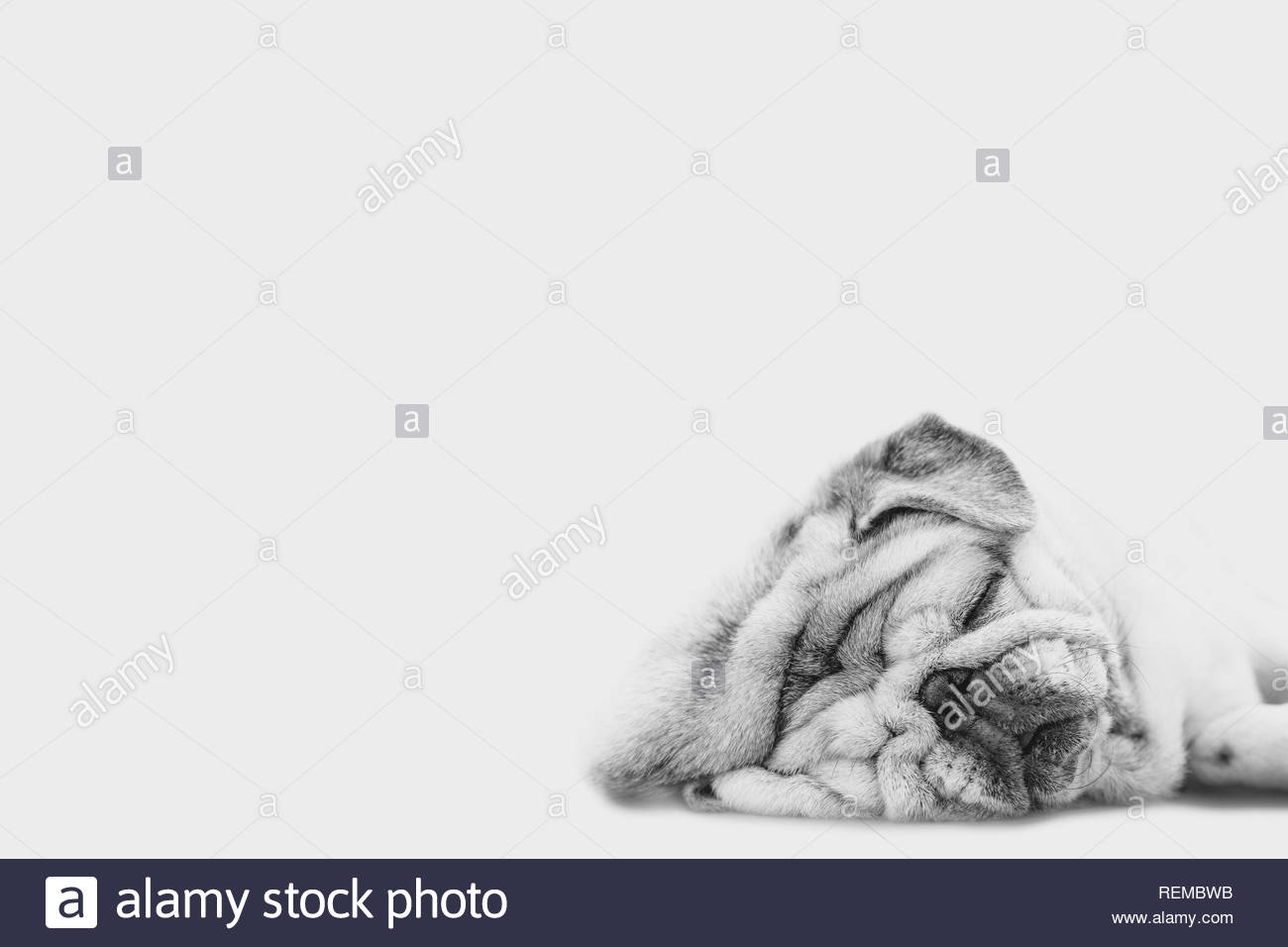Close Up Face Headshot of Pug dog. Fat dog with many wrinkles on his face. Dog with funny face. - Stock Image