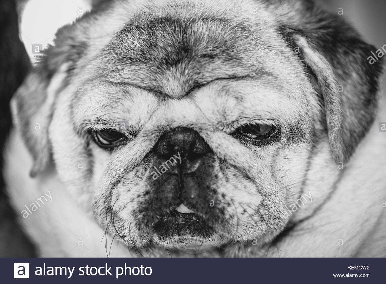 Close Up Face Headshot of Pug dog. Fat dog with many wrinkles on his face. Dog with funny face. Stock Photo