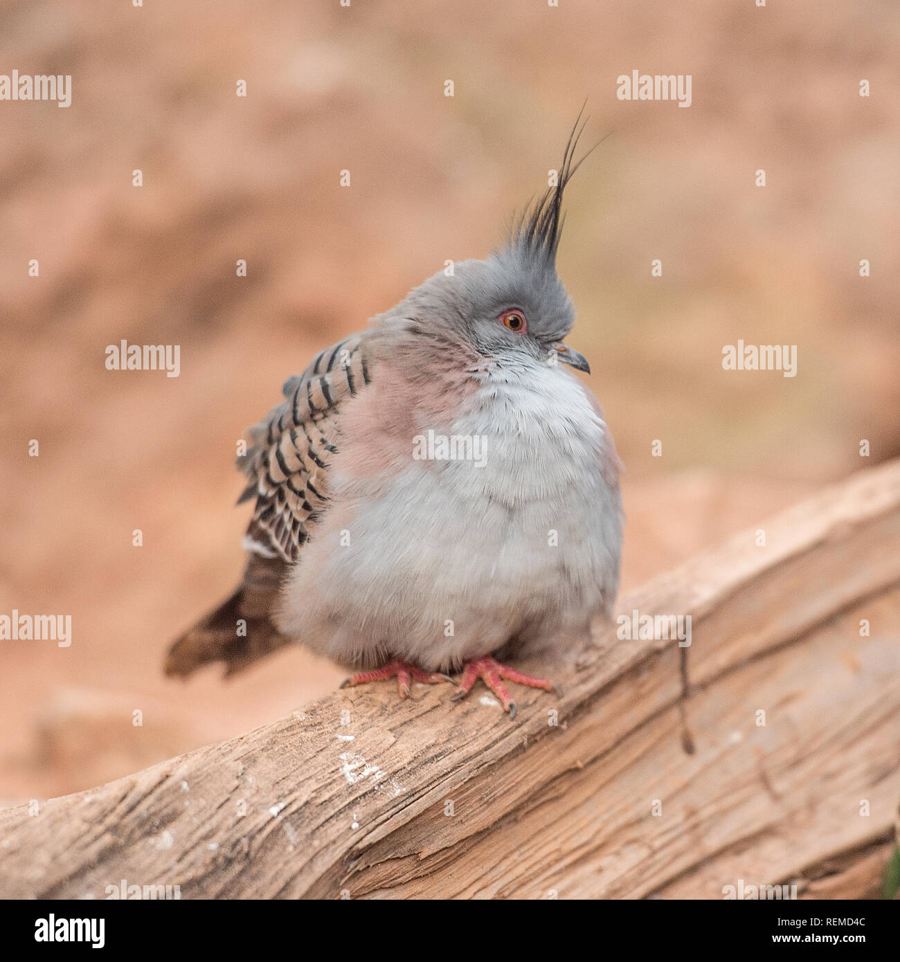 Crested Pigeon (Ocyphas Lophotes) - Stock Image