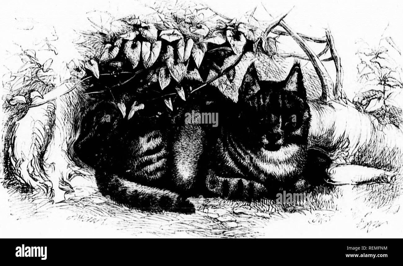. The illustrated natural history [microform]. Mammals; Natural history; Mammifères; Sciences naturelles. k. KdVl'TIAN CAT.âi-W/s Ma fiiliiUi TIr' isjicciis of Cat wliicli was lliu riiici! liy tlicsc  L;lia.stly IioiKuirs of Ihc clianicl- luusc, IS till' aiuinal vliicli is iv|.ivsciitr(l in tlic oii-Taviiin-. It is sni.poscd to be tl (iiininal slock iVoiii liicli (Icscciulctl liic race ol' liy the Kuvptian's liearlli, and (loiiieslie Cats wliicli ioiiiul their 1 were! so ])ious]y cherished liy that straii'fe, iuti'llect innu' ]nex].lii'a1de jieople. It is indjo'enoiis to Xuliia; and has he Stock Photo