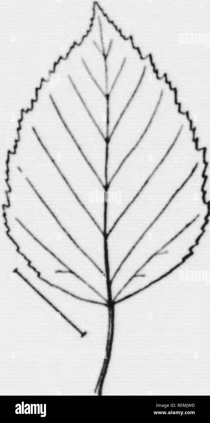 . Illustrated key to the wild and commonly cultivated trees of the northeastern United States and adjacent Canada [microform] : based primarily upon leaf characters. Trees; Trees; Arbres; Arbres. I''iÂ«- !.â ;â¢!. Kli- ropcan I'aiRT Minli,. 118. Leaves i] to 2J inches lon^r. Xewfoundland and northern New Enfjjland and north- '''^'- '34- AmcH- i,-..t-^l .,1 i4 It- tan Canue Mirch. ward, also cult. (Tig. 13^.) European Paper Birch, Belida alba L.. Please note that these images are extracted from scanned page images that may have been digitally enhanced for readability - coloration and appearance - Stock Image