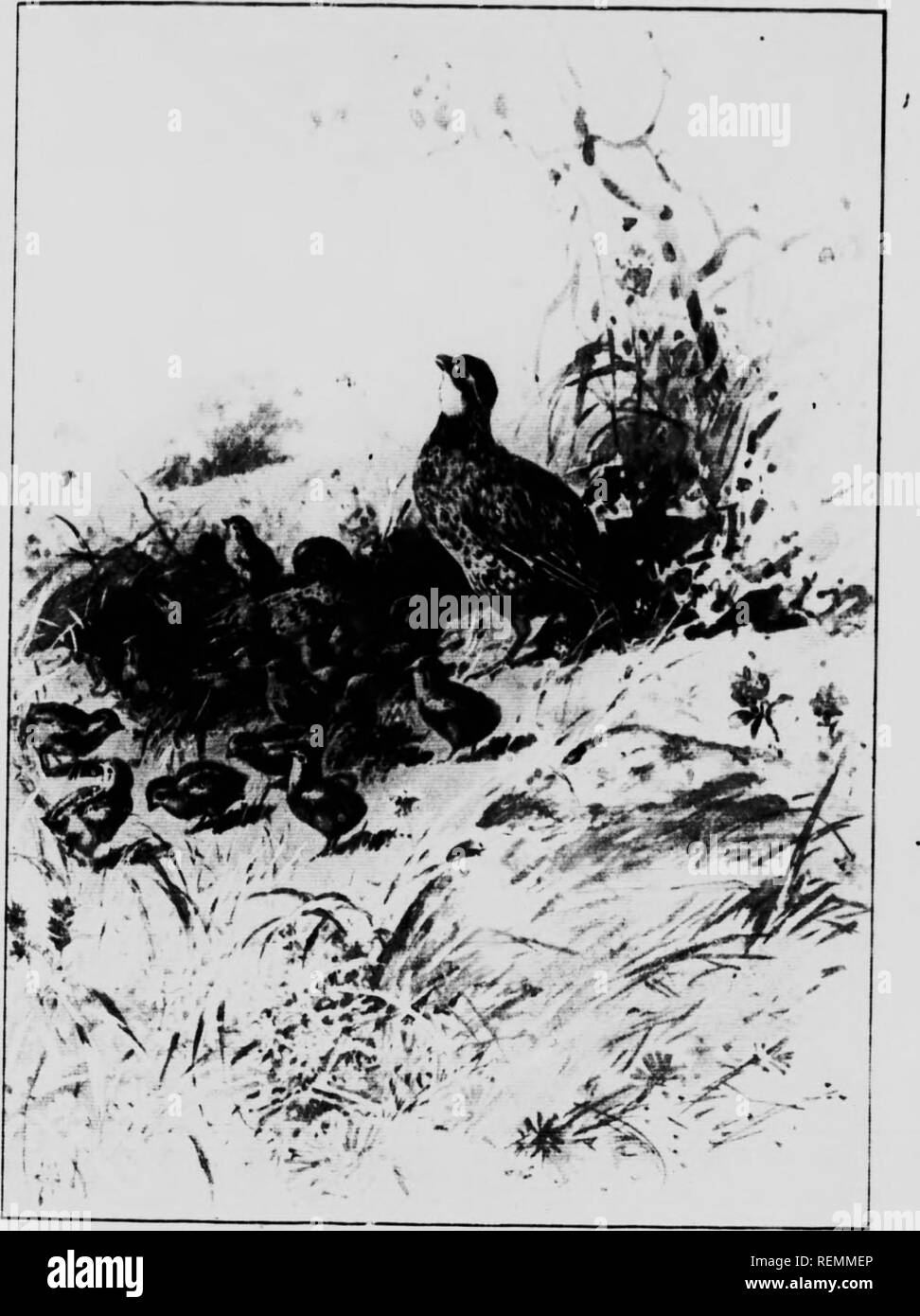 . Fowls of the air [microform]. Birds; Game and game birds; Oiseaux; Gibier. Uttering the softest and most musical of whistles. Please note that these images are extracted from scanned page images that may have been digitally enhanced for readability - coloration and appearance of these illustrations may not perfectly resemble the original work.. Long, William J. (William Joseph), 1866 or 7-1952. Toronto : Copp, Clark - Stock Image