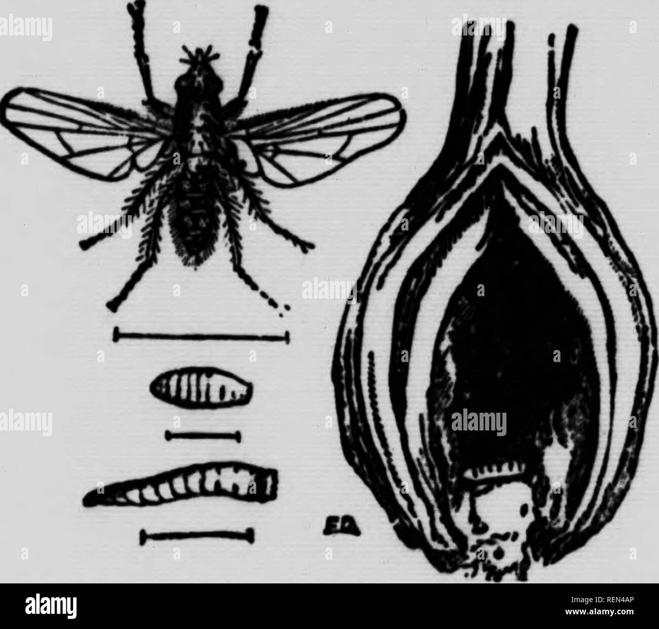 Insects affecting vegetables [microform]  Légumes