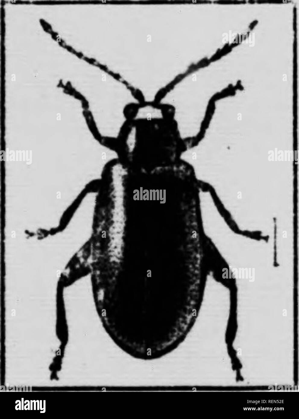""". Flea-beetles and their control [microform]. Coléoptères, Lutte contre les; Altises, Lutte contre les; Flea beetles; Insectes nuisibles, Lutte contre les; Beetles; Insect pests. Fio. 7.—The lironie Flea-bcetlf, cnlarKcd 4 times; (original).  / -^^JB l^x ^M w )"""" i The Bron7E Flea-beetle, {HaUica evicta Lee.) This species of HaUica which occurred at Nelson, B.C ant on the leaves of strawberry, in the last week of April; 180 specimens were collected from a single plant. It is a larger flea-beetle than HaUica ignita, being about one- sixth of an inch in length and of a bronze colour. The ou - Stock Image"""