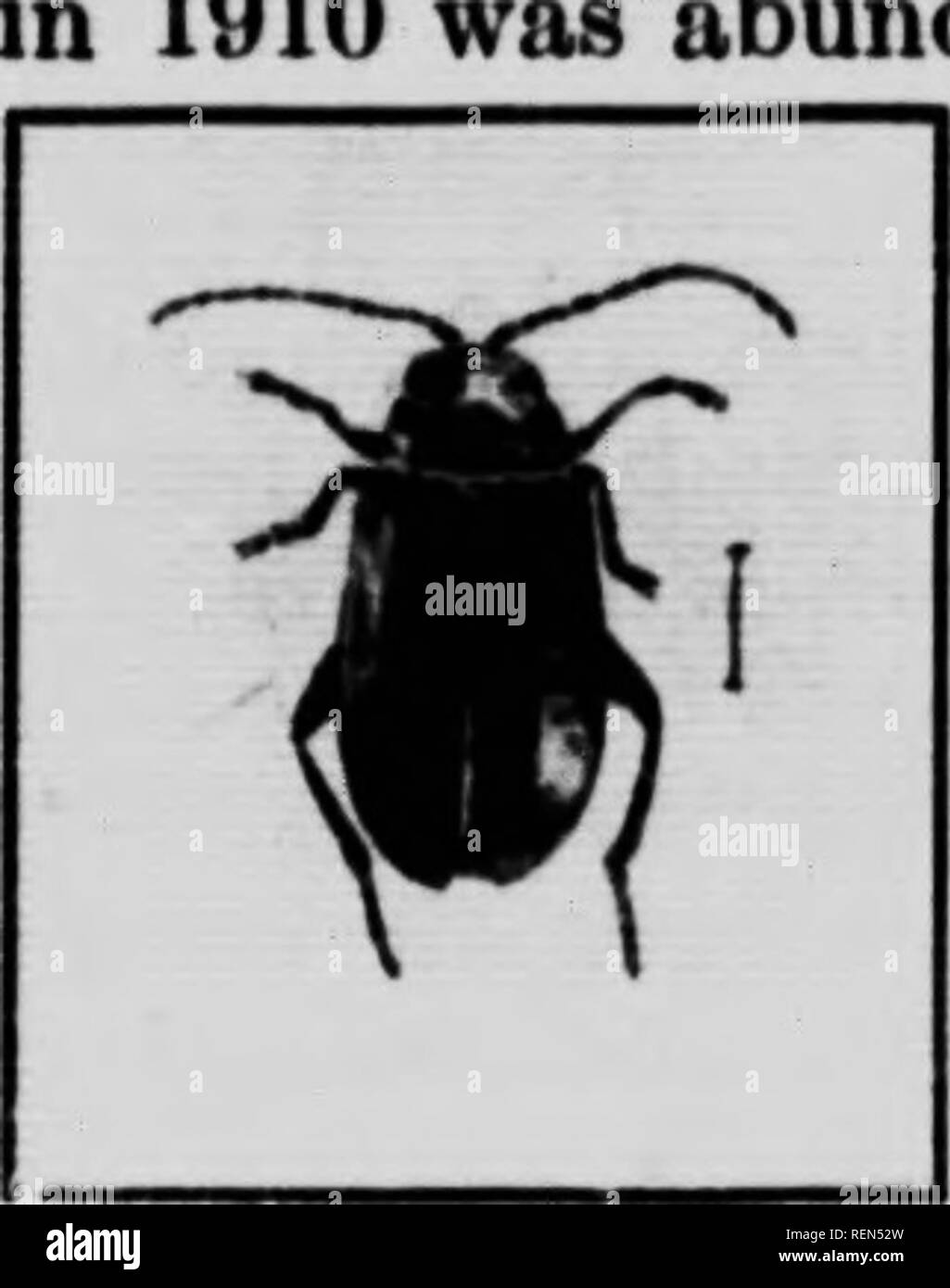 """. Flea-beetles and their control [microform]. Coléoptères, Lutte contre les; Altises, Lutte contre les; Flea beetles; Insectes nuisibles, Lutte contre les; Beetles; Insect pests. 8 1910 was abund-. Fio. 7.—The lironie Flea-bcetlf, cnlarKcd 4 times; (original).  / -^^JB l^x ^M w )"""" i The Bron7E Flea-beetle, {HaUica evicta Lee.) This species of HaUica which occurred at Nelson, B.C ant on the leaves of strawberry, in the last week of April; 180 specimens were collected from a single plant. It is a larger flea-beetle than HaUica ignita, being about one- sixth of an inch in length and of a br - Stock Image"""