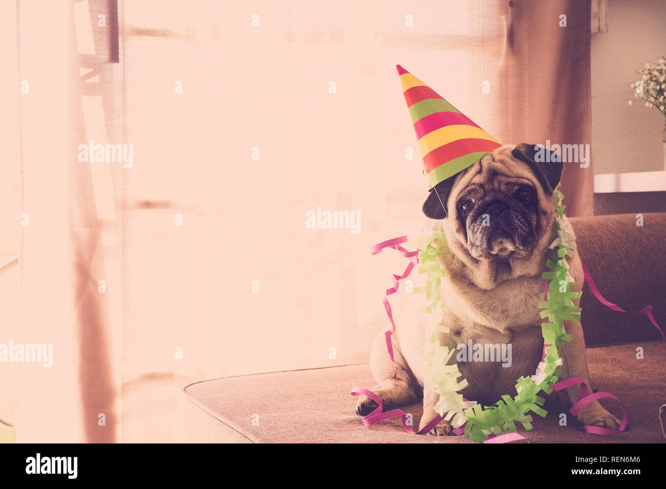 Carnival funny concept birthday celenration new year christmas with crazy pug dog with coloured event style hat - Stock Image