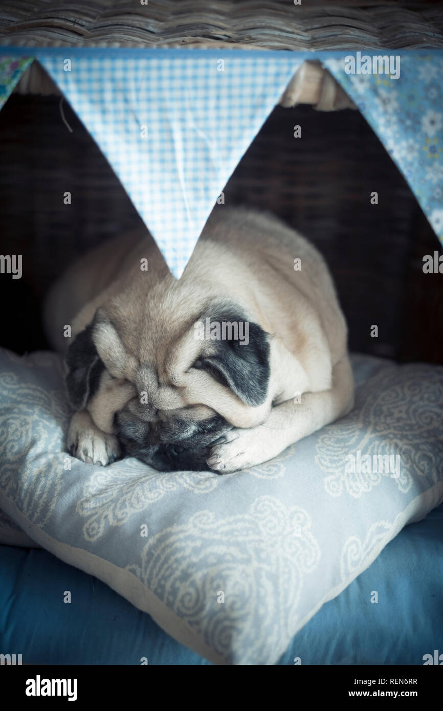 Adorable lovely puppy pet pug dog sleeping in her little cozy house protectnig himself with paws and doing wonderful dreams - happy and funny sweet co - Stock Image
