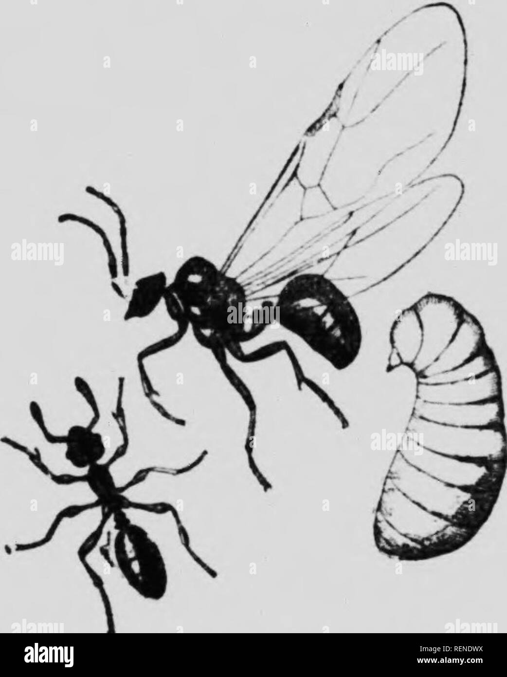 . The insect book [microform] : a popular account of the bees, wasps, ants, grasshoppers, flies and other North American insects exclusive of the butterflies, moths and beetles, with full life histories, tables and bibliographies. Insectes; Insects. i' - â (i i: ,1! The Ants insects. A number of ye:irs iifto some l.iherian coffee-trees were started in the greenhouse. On the under s^de of the leaves of these cofTee-trees, there exist at the bases of certain of the leaf ribs some very minute, nectar-secreting glands. The ants soon found this out and sipprd the nectar. Then the idea occurred to  - Stock Image