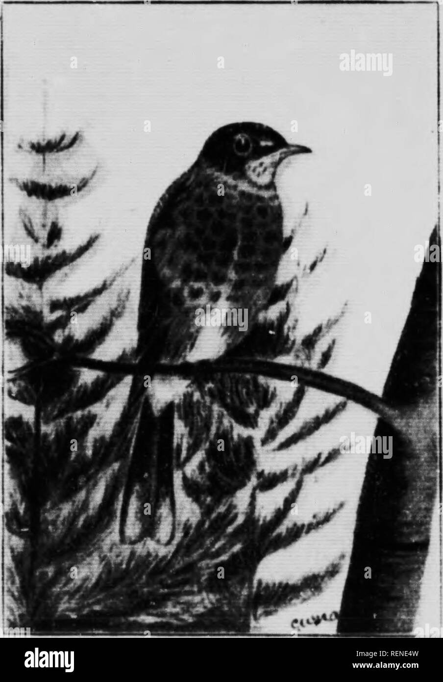 . Check list of the vertebrates of Ontario and catalogue of specimens in the Biological Section of the Provincial Museum [microform] : birds. Musée royal de l'Ontario; Royal Ontario Museum; Oiseaux; Oiseaux; Birds; Birds. BIRDS OF ONTARIO. 81 (757) Gray>chMked Thrush. (Hylocichia aliciae.) A common migrant in spring and autumn, breeds far north. Arrives about the middle of May, departs early in October. Mr. Saunders states that n specimen of H. a. bicknelli was taken by Mr. Robert Elliott near Bryanston, Ont., September 19th, 1898. (75bc) Olive-backed Thrush. (Hylocichia ustuluta swainsonii Stock Photo