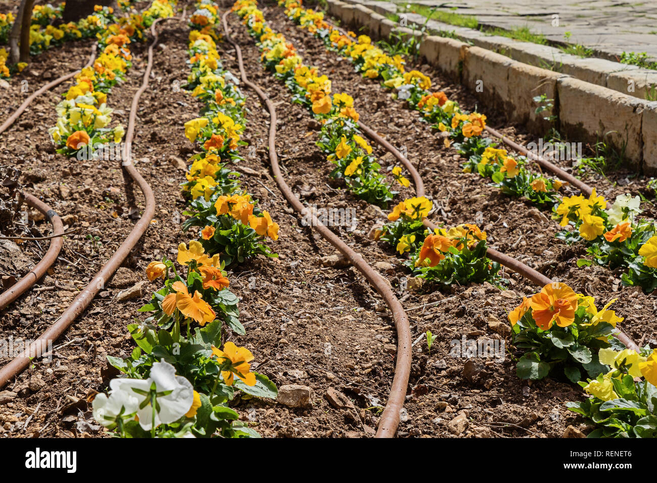 Yellow pansy seedlings and watering system for flowerbed in garden and watering hoses on ground, close up - Stock Image
