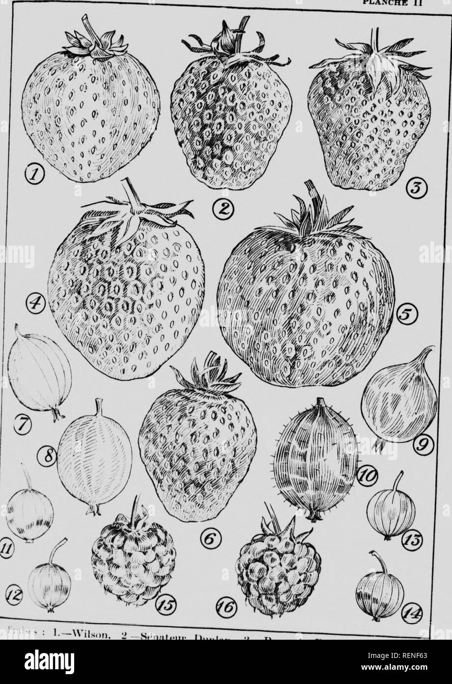 . De la culture des arbustres fruitiers [microforme]. Arboriculture fruitière; Fruit-culture. PLANCHE II. 1—Vils,.n ildei-.. Please note that these images are extracted from scanned page images that may have been digitally enhanced for readability - coloration and appearance of these illustrations may not perfectly resemble the original work.. Pétraz, Francisque; Lavoie, J. -H. (Joseph-Henri), né 1887; Québec (Province). Département de l'agriculture. [Québec] : Dép. de l'agriculture - Stock Image