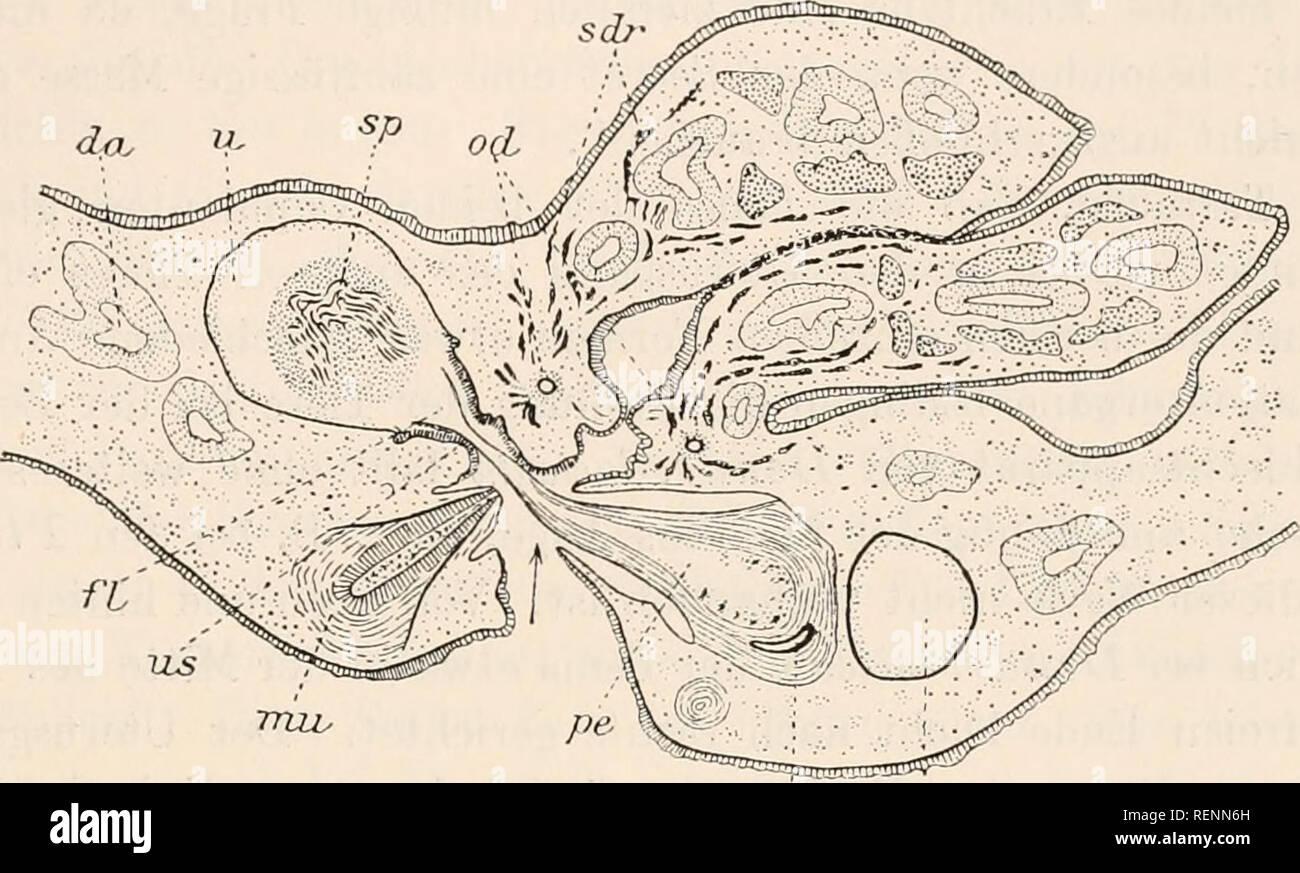 . Dr. H.G. Bronn's Klassen und Ordnungen des Thier-Reichs : wissenschaftlich dargestellt in Wort und Bild. Zoology. 3131 die kreuzweise Stellung hinzukommt, in welcher das von Burr in seinei' textfig. J) abgebildete Paar der PI. gonoceyhala fixiert wurde. Hallez (353, pag. 14) hat beobachtet, daß die Begattungen haupt- sächlich in die Zeit vor der Eiablage fallen, später aber weniger häufig vorkommen. Eine Begattung soll für 2—3 Eikapselbildungen ausreichen, ihre Dauer schätzt H. auf P/g Stunden. Nach Burr bevorzugen die Tricladen als lichtscheue Tiere für ihre Begattungen die Nacht und die Mo Stock Photo