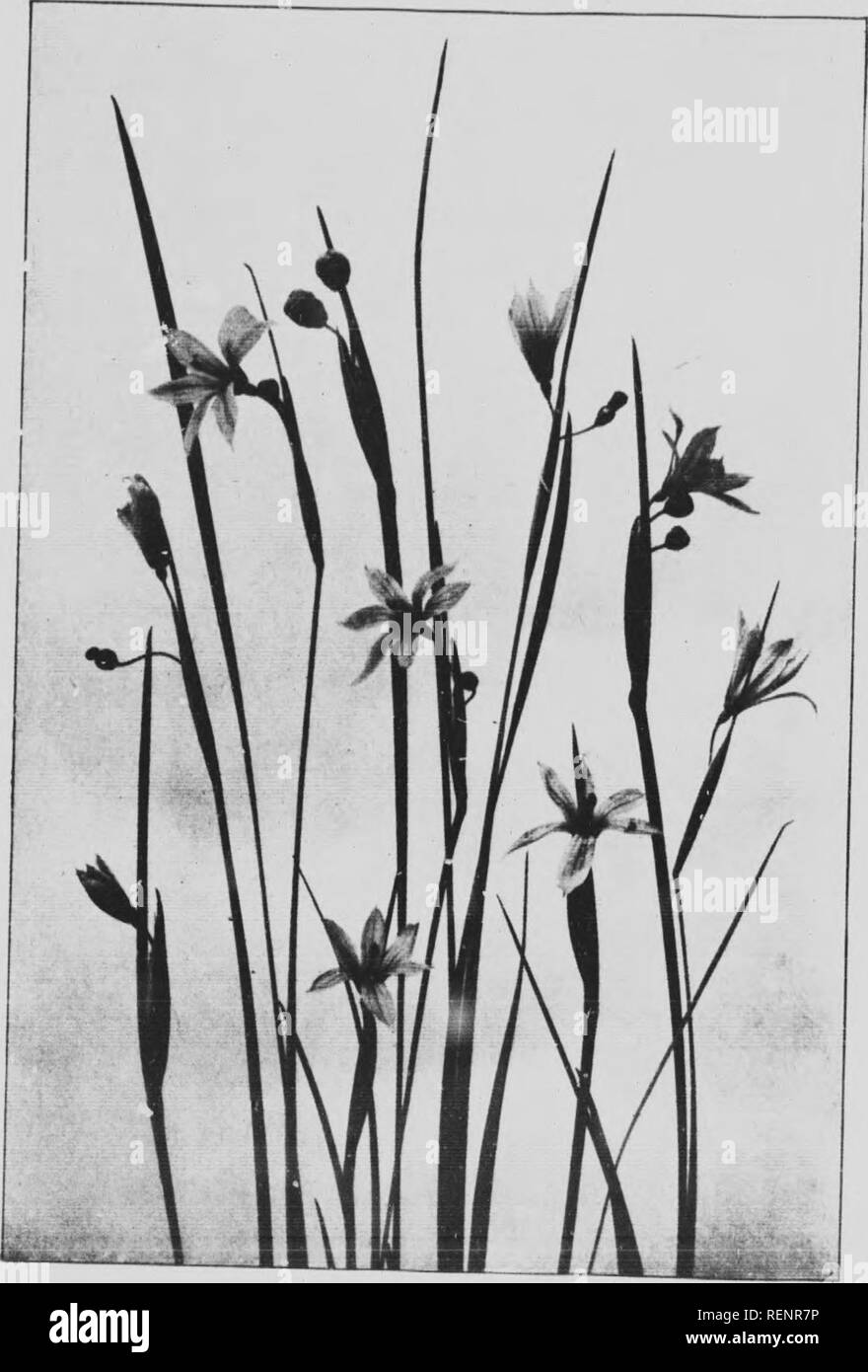 Mountain wild flowers of Canada [microform]  a simple and