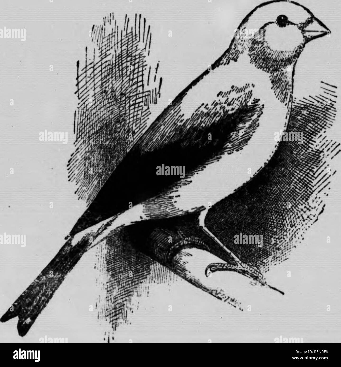 """. The vet. book, or, Animal doctor [microform]. Horses; Bétail; Chevaux; Veterinary medicine; Livestock; Médecine vétérinaire. 130 â Eno's Sweet Cutor OU,"""" the bnt for birds. Wing, Injury to the Birds that have jeen newly caught, and turned into a large aviary, frcfiueutly hurt the joints of their wings by dashing them- selves wildly, m their alarm, against the wire and perches, in some cases so severely as to make themselves bleed, and in others, to dislocate, or even break, the wings. Where tlie inj ury is confined to a bruJae or even an abrasion, of ib» ebin, no treatment will be  - Stock Image"""