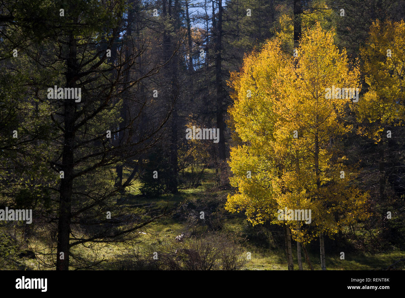 Yellow Aspens surrounded by pine trees in the Sacramento Mountains of New Mexico - Stock Image