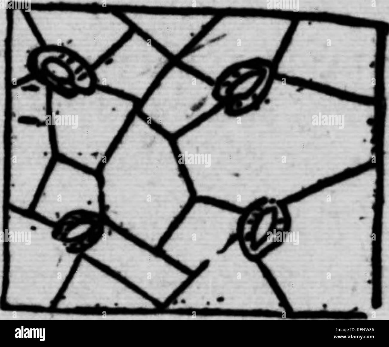 . Abrégé de botanique [microforme]. Botanique; Botany. FEUILL^ 21. T^' ,J^ 8^»»^»*. <» Â«ont les feuilles des plantes dicotylÃ«- donÃ«es (E»ble, par exemple) qui offrent cette ramification à 1 infini des nervures; chez les monocotylédones, les nervures wnt presque parallèles dans l'étendue de la feuille (Blé dinde). Les nervures diminuent de grosseur à mesure qu'el- IM se ramifient.âCe qui donne la couleur verte aux feuilles et en général aux parties herbacées des plantes, c'est une matière granuleuse nommée chlorophylle, contenue dans les cellules. L'épiderme eÂ«t ordinair Stock Photo