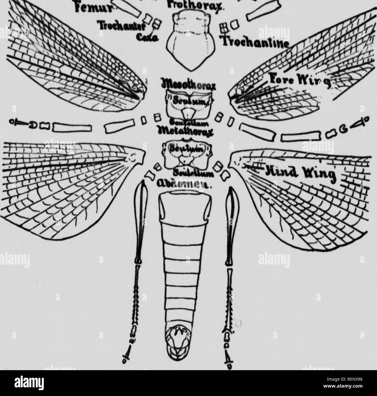 """. Zoölogy [microform] : descriptive and practical. Zoology; Zoologie. QmUiuuN. FIG. a. EXTFRNAI FEATURF^ OP A GRASSHOPPER. DoRSAL ViEW. From Packard! ZoSlogy, '± Vl'^l ^'^^S.S^Vw-l""""'""""""""-.. Please note that these images are extracted from scanned page images that may have been digitally enhanced for readability - coloration and appearance of these illustrations may not perfectly resemble the original work.. Colton, Buel P. (Buel Preston), 1852-1906. Toronto : Copp, Clark - Stock Image"""