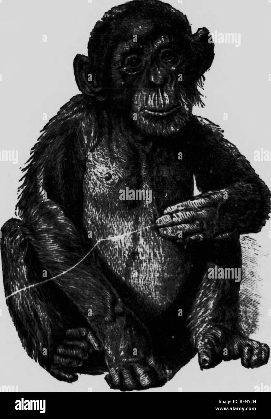 Chimpanzee Attack Stock Photos & Chimpanzee Attack Stock