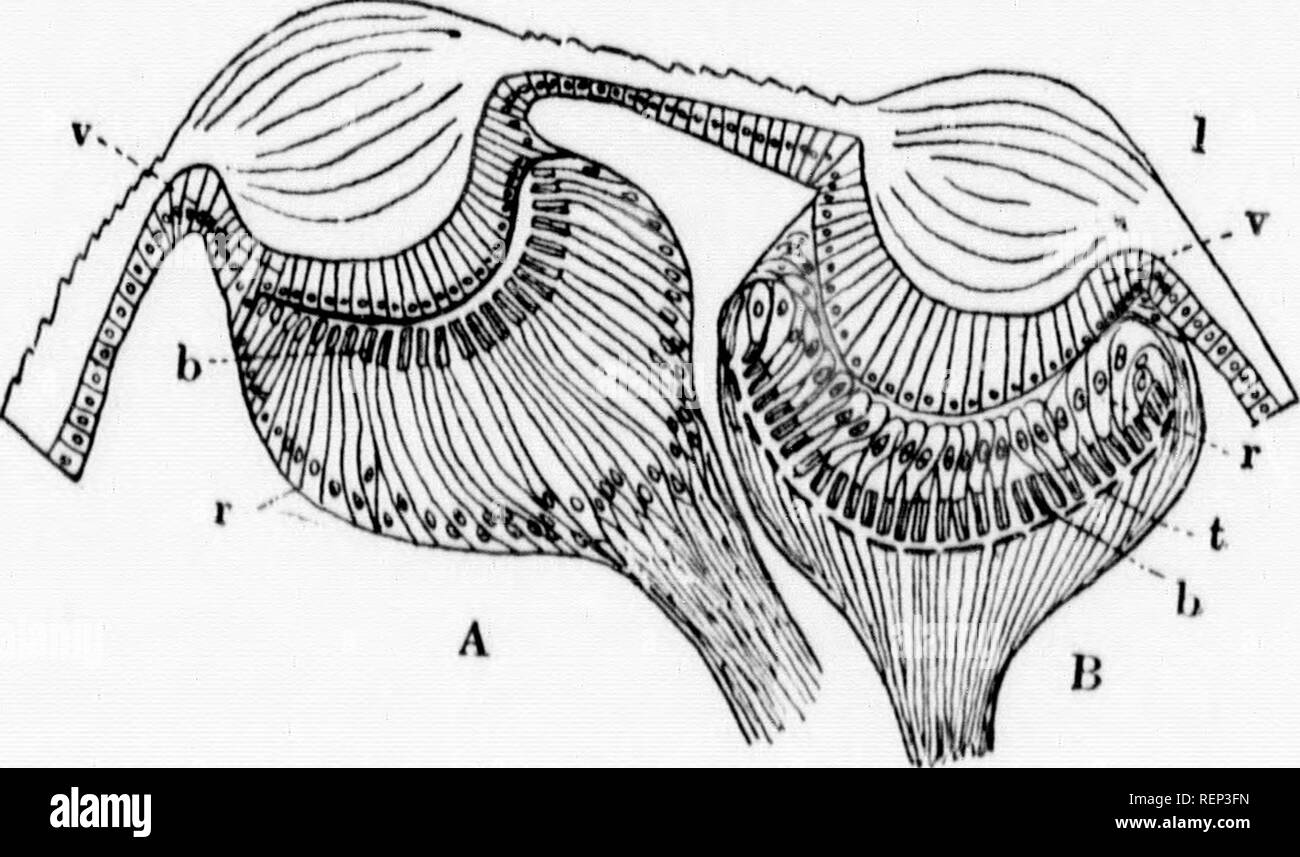 . A textbook of invertebrate morphology [microform]. Invertebrates; Morphology (Animals); Invertébrés; Morphologie (Animaux). TYPE AliACimiDA. 439 al in posi- ^anglia are } forms all halothorax 1 to form a 9 gauglioii halothorux )steriorly )i le anterior gment. A IS, Spiders, I from the s serve as ition, since no definite b and var^' s three or t'om two to 1 each side iilus, while les of the r from the 3r them to a layer of 3rni (hypo- lie corneal wn as the isting of ii li situated ' the optic I cells arc ste a tliiii ing thus a la is a thill s pigmeiil- iteral eyes ; a corneal They arc cup-sh - Stock Image